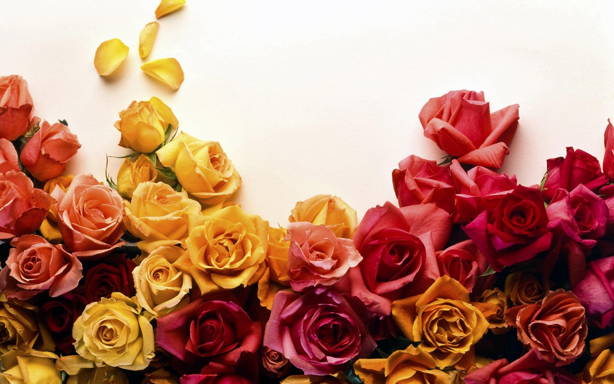 Papéis De Parede Rosas Amarelas E Vermelhas Fundo Branco 2560x1600