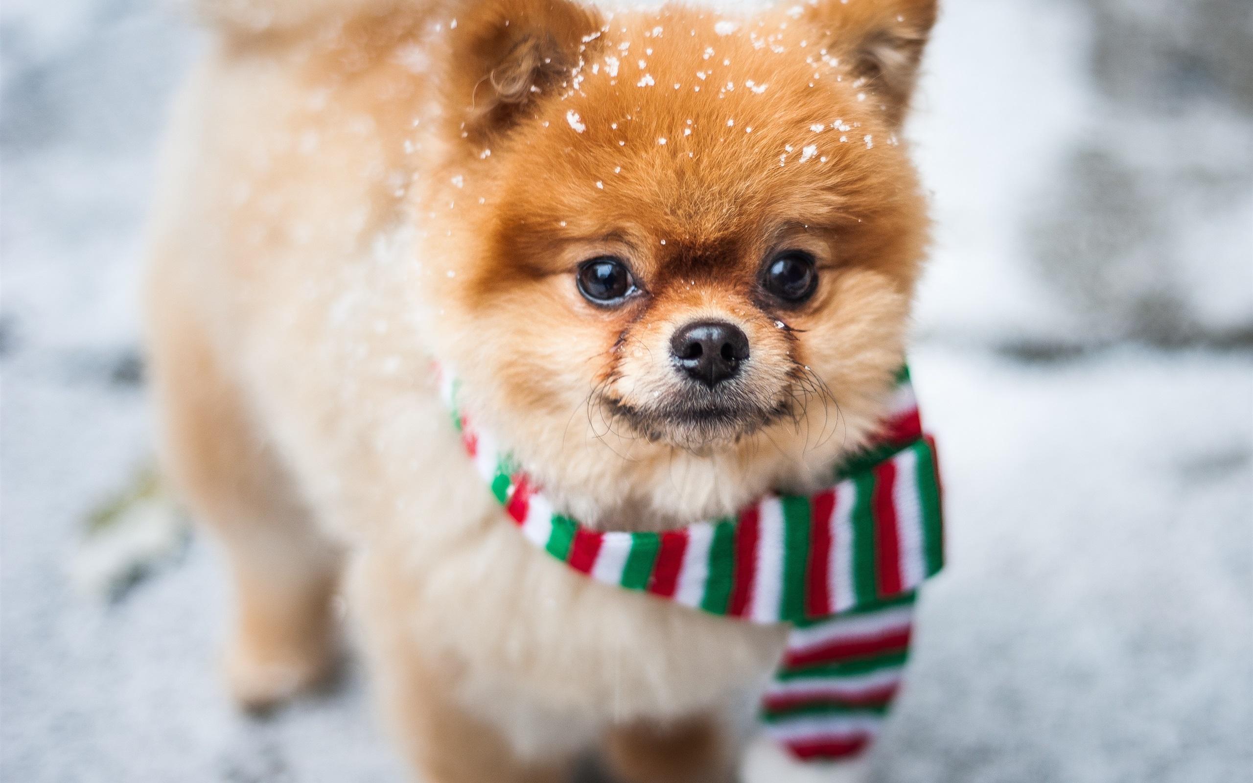 壁紙 かわいい犬の正面から見た 顔 スカーフ 雪 x1800 Hd 無料のデスクトップの背景 画像