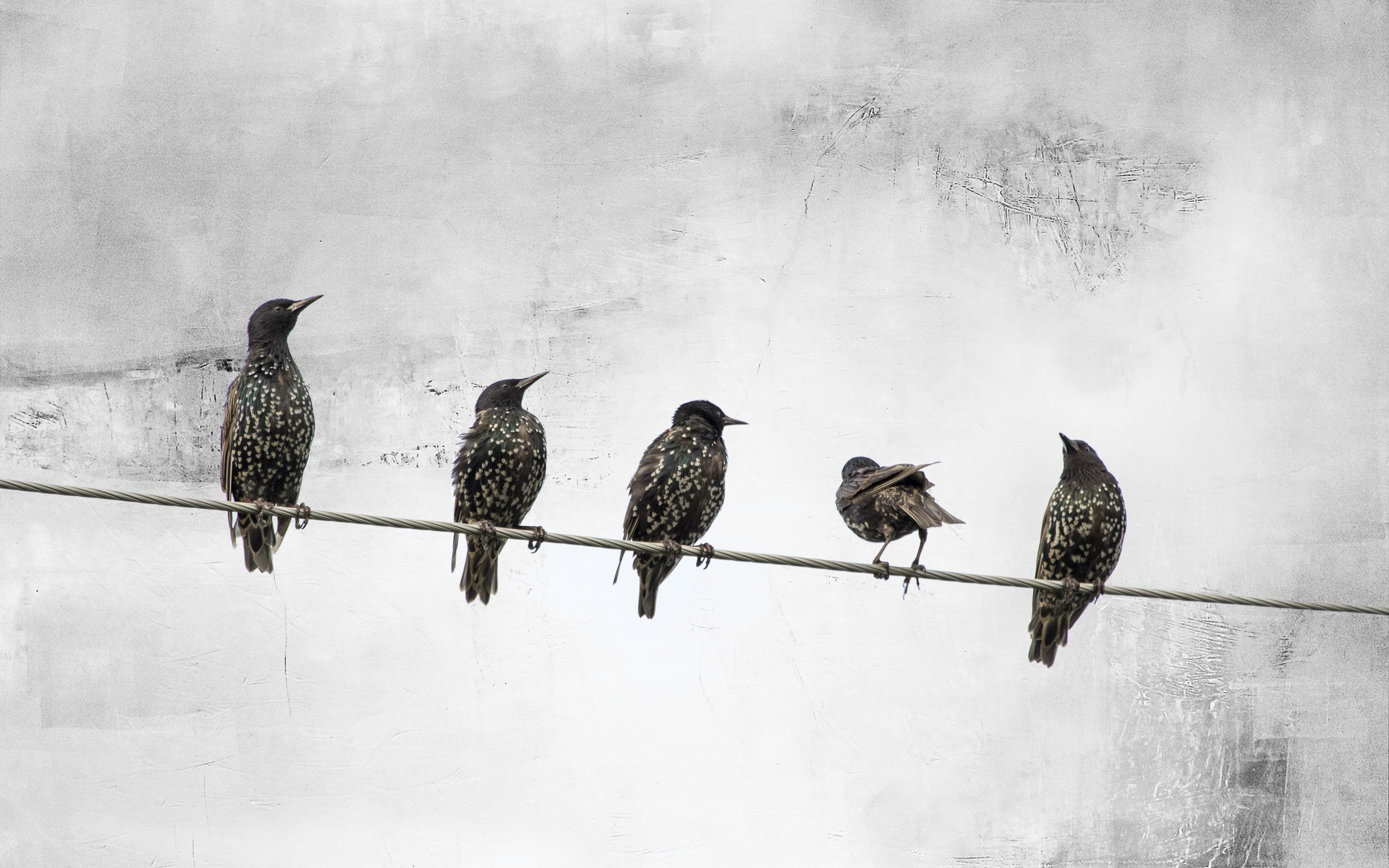 Wallpaper Five Birds Standing On Wire 2560x1600 Hd Picture Image
