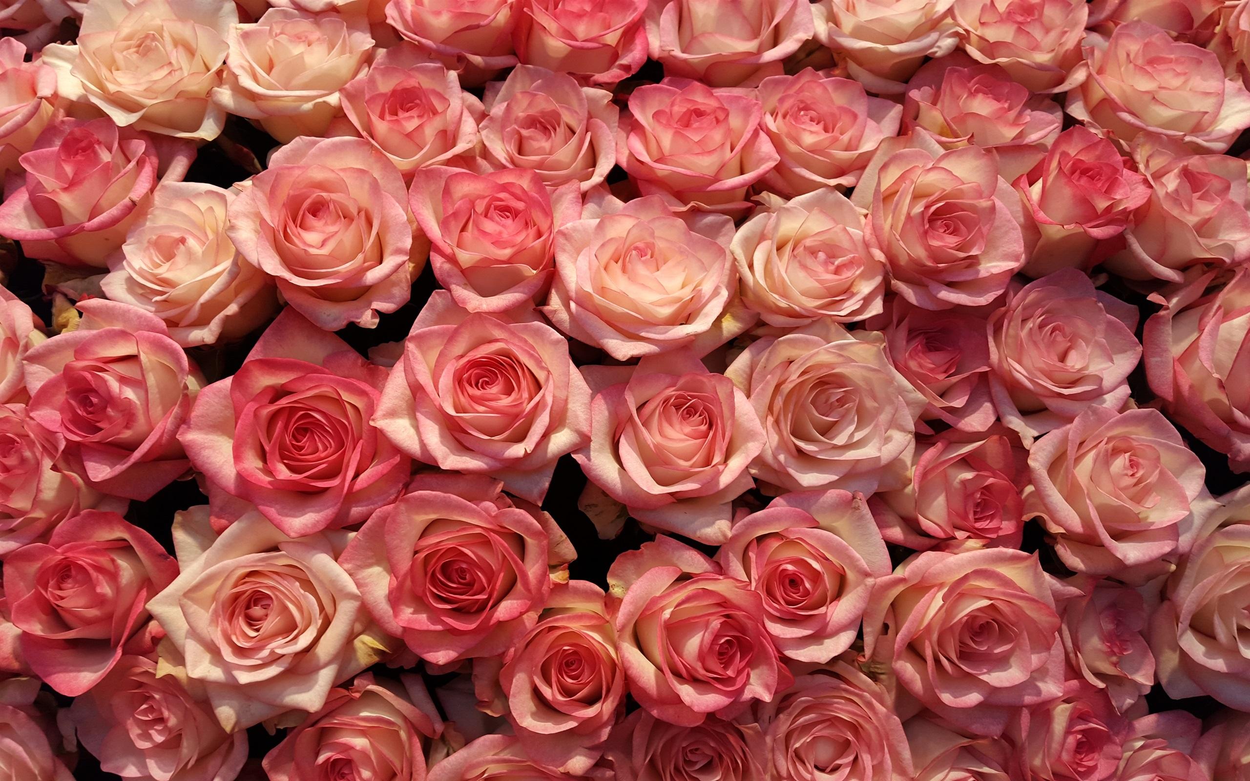 Fondos De Pantalla Rosa: Fondos De Pantalla Muchas Rosas Rosadas, Fondo De Flores