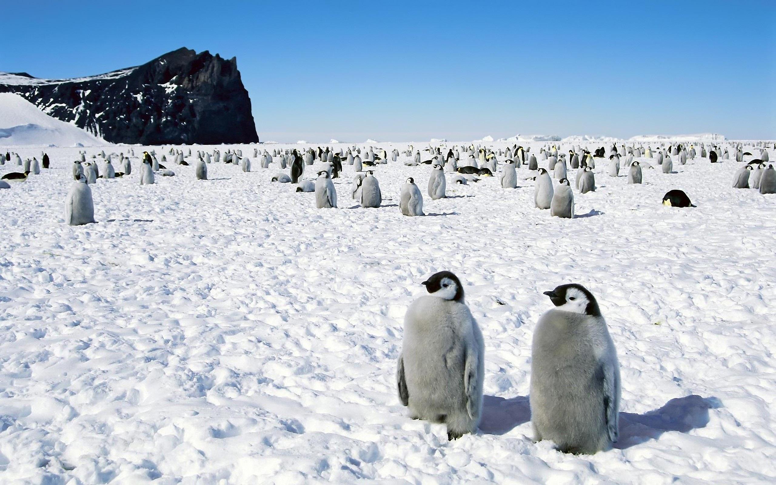 壁紙 ペンギン 南極 雪 2560x1600 Hd 無料のデスクトップの背景 画像