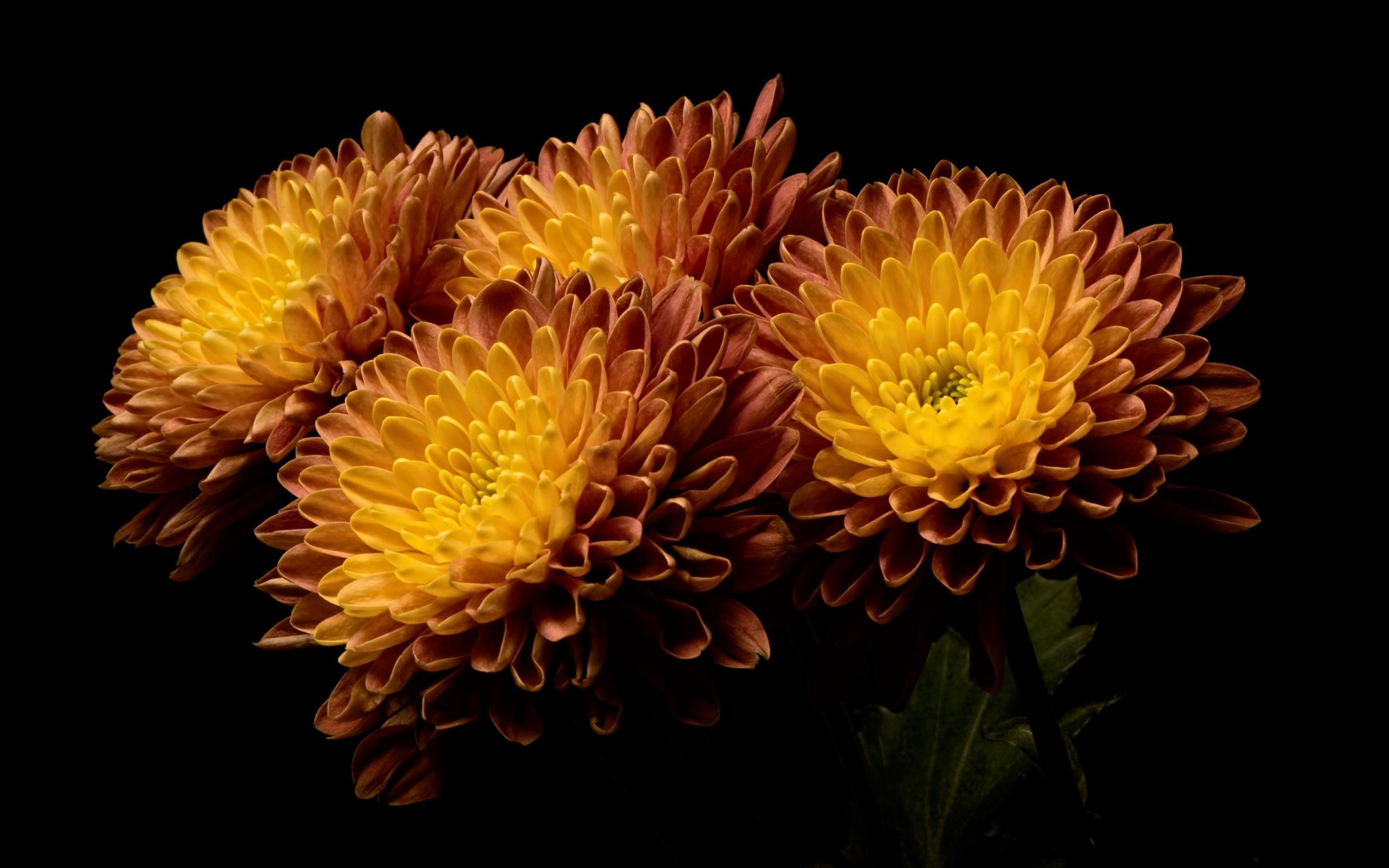 Fondos De Pantalla Flores Naranjas Fondo Negro 2560x1600 Hd Imagen
