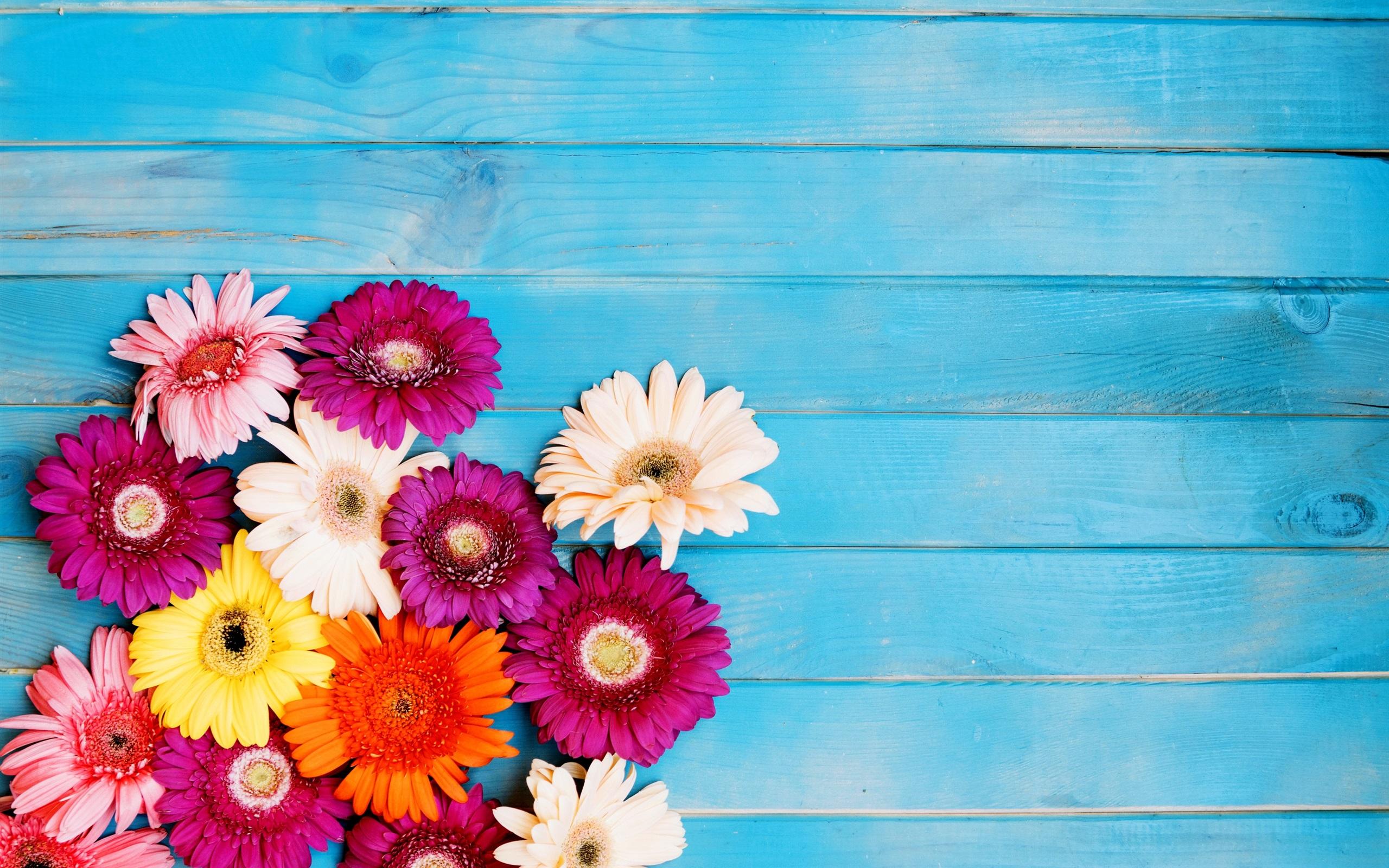 壁紙 カラフルなガーベラの花 青い背景 2880x1800 Hd 無料の