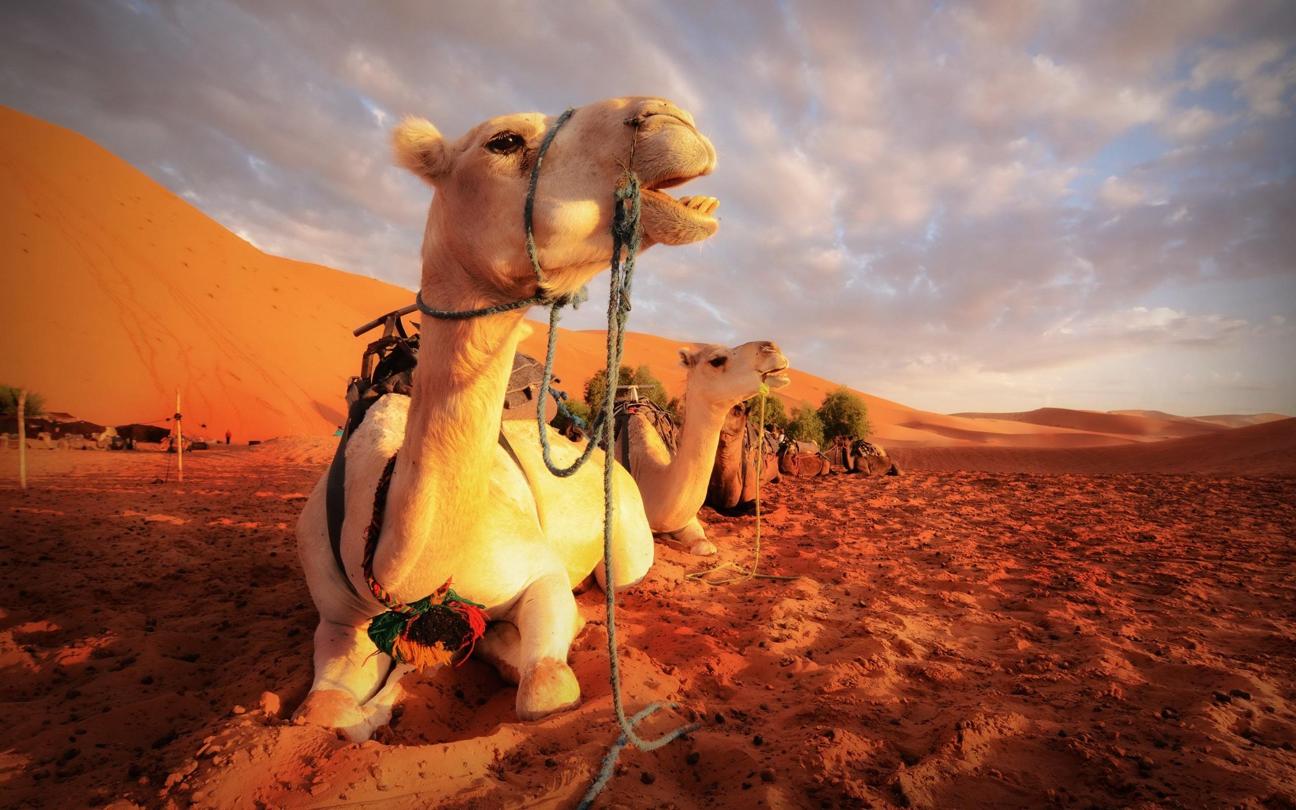 Wallpaper Camels Rest Desert 2560x1600 Hd Picture Image