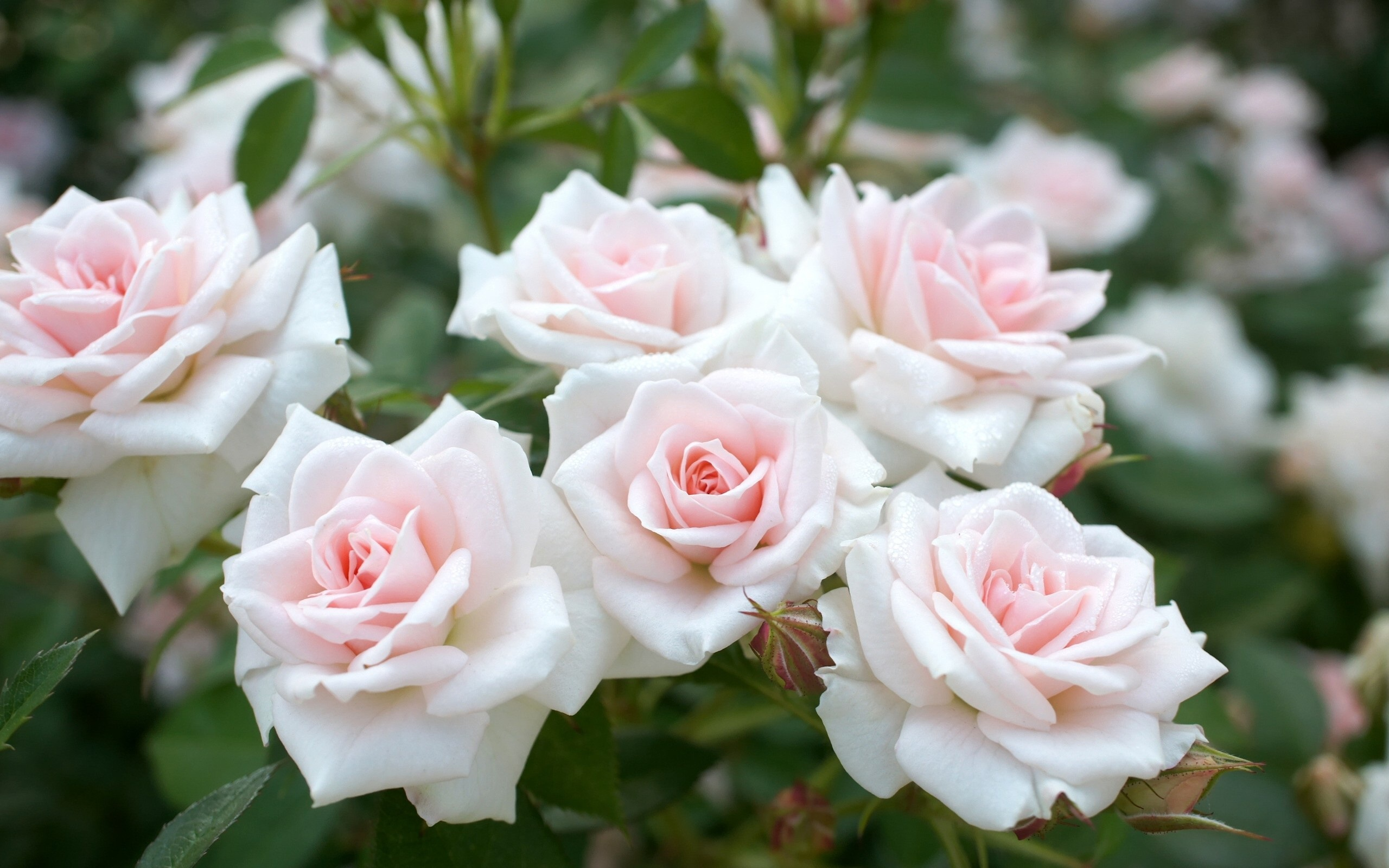 Wallpaper Light Pink Roses Garden Flowers 2560x1600 Hd Picture Image