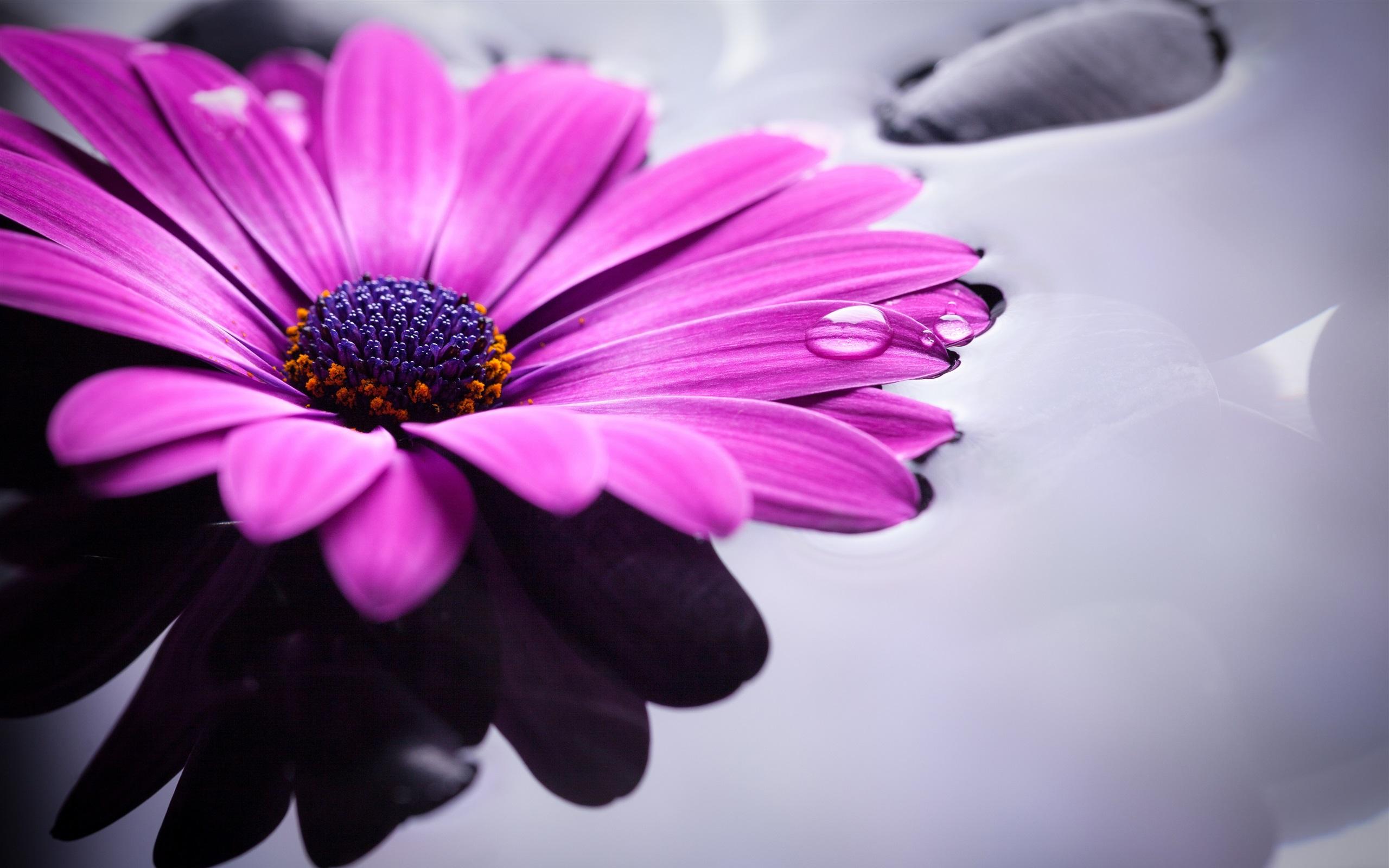 кто картинки фиолетовые герберы специи