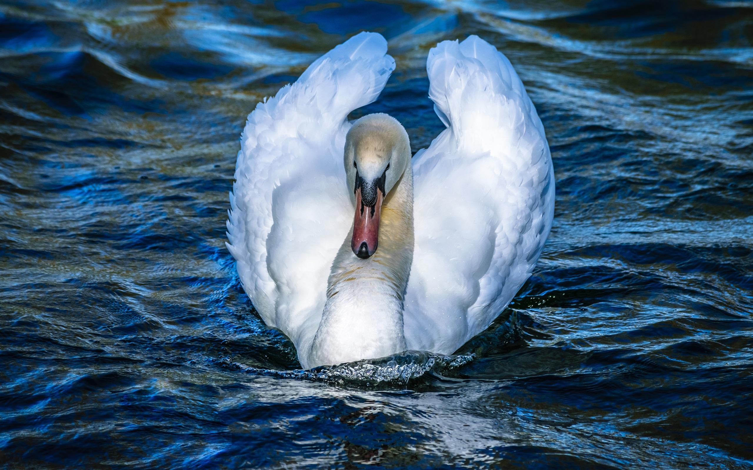 Лебедь белая картинки