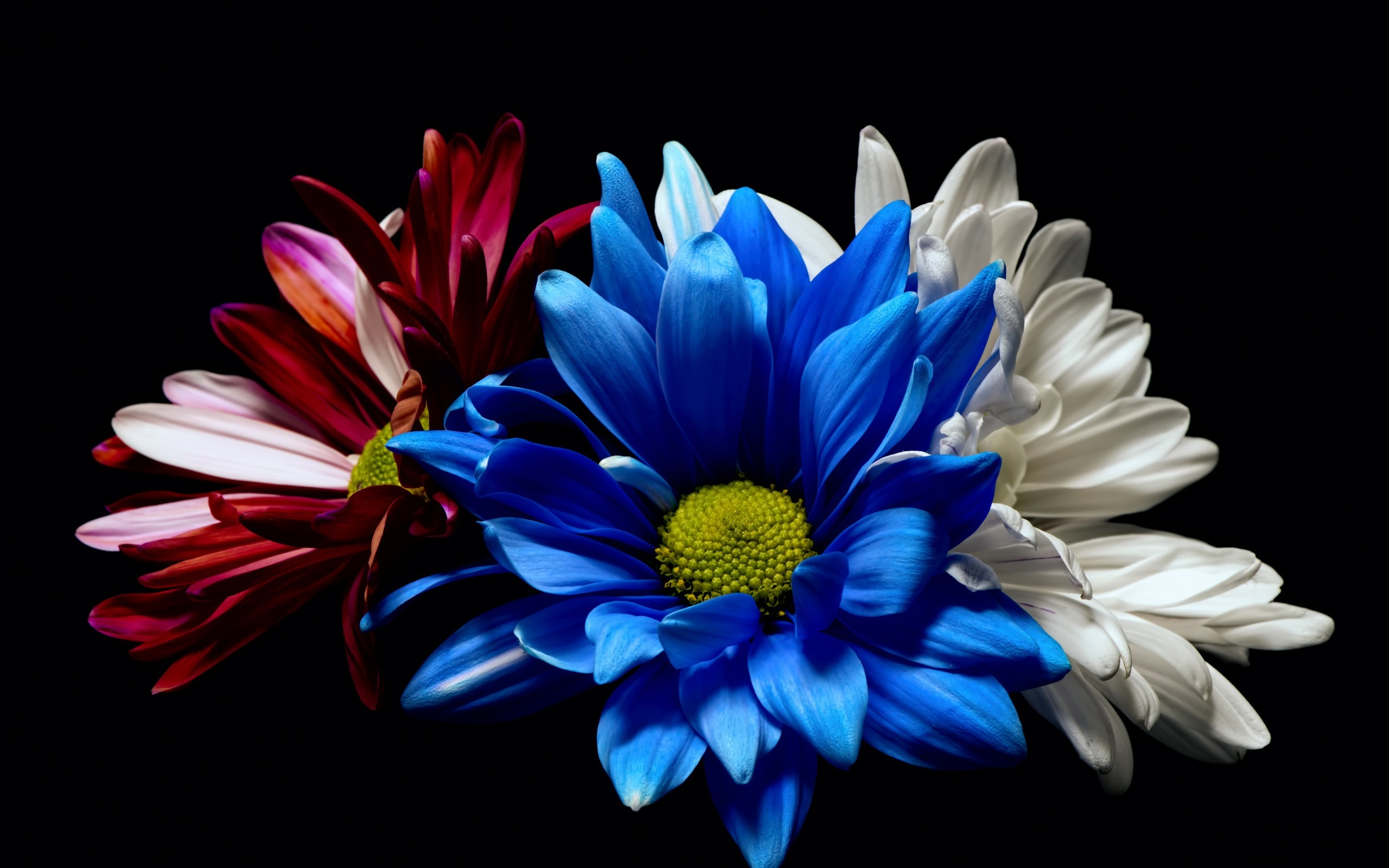 Wallpaper Blue White And Red Gerbera Flowers Black