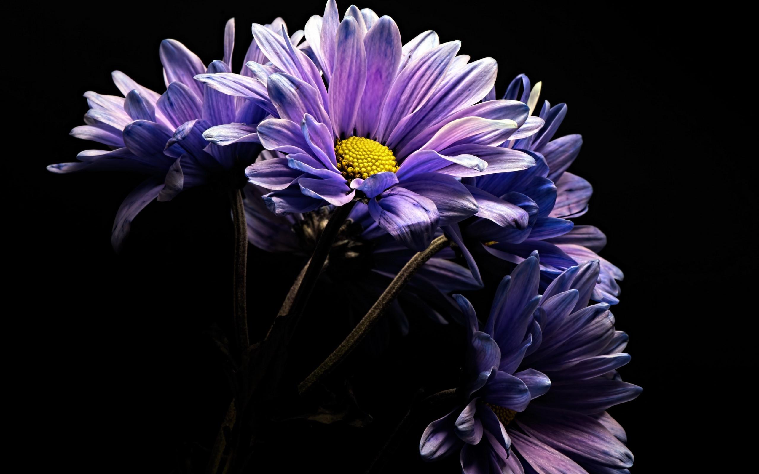Purple gerbera flowers black