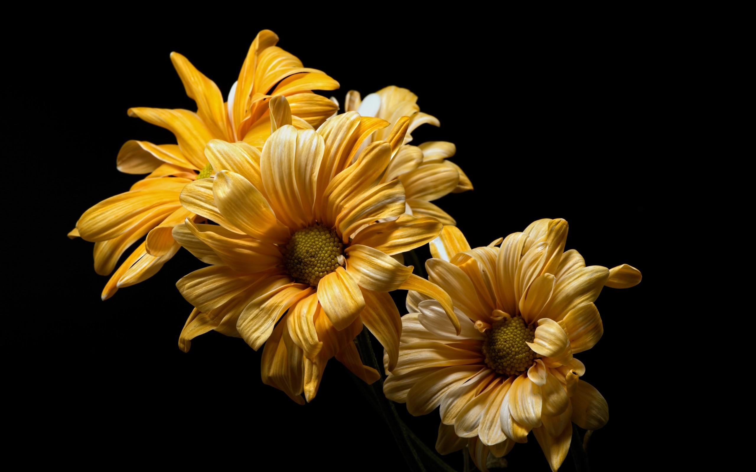 Fondos De Pantalla Primer Plano De Flores Amarillas Fondo Negro