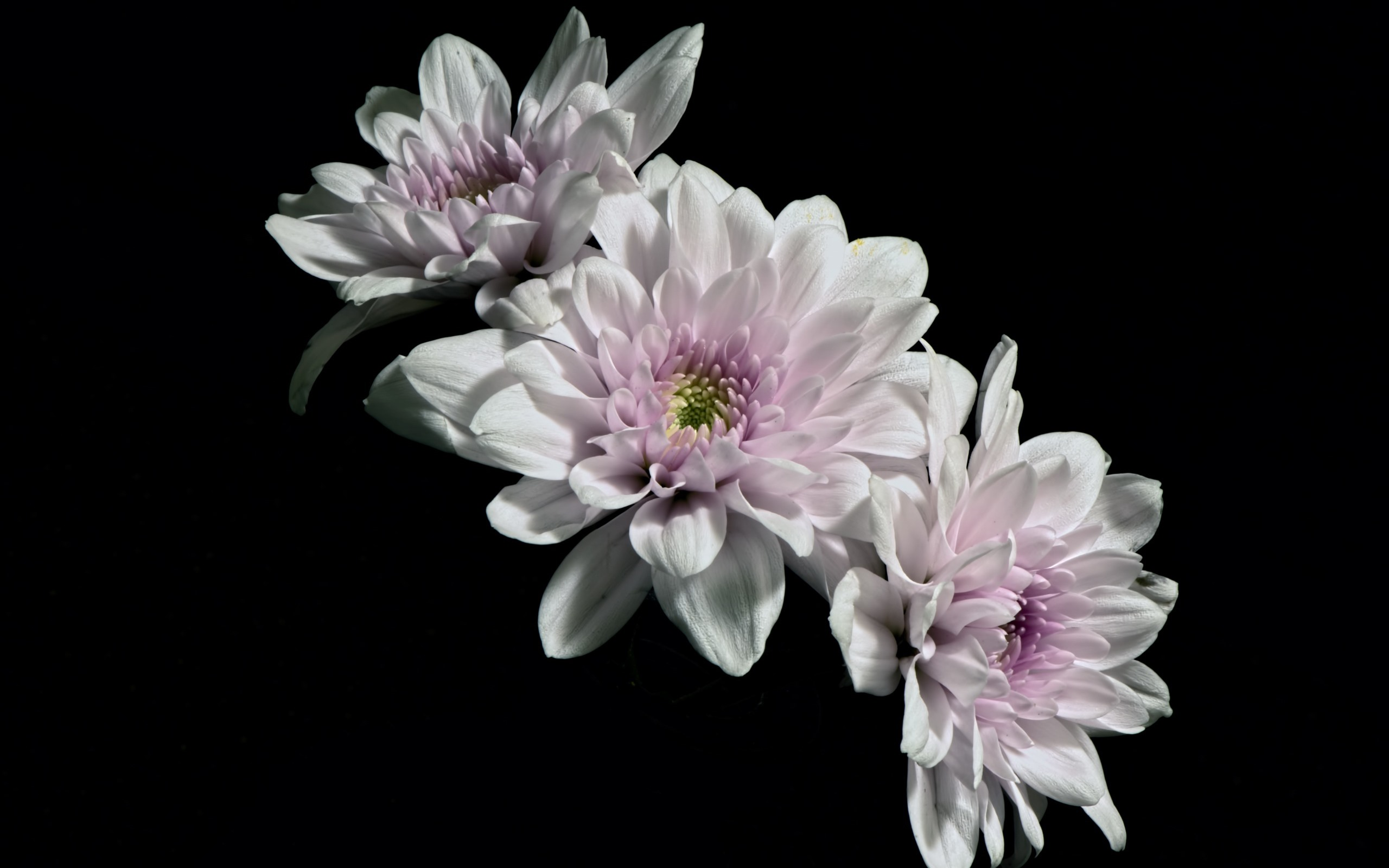 Wallpaper White Petals Flowers Black Background 2560x1600 Hd Picture Image