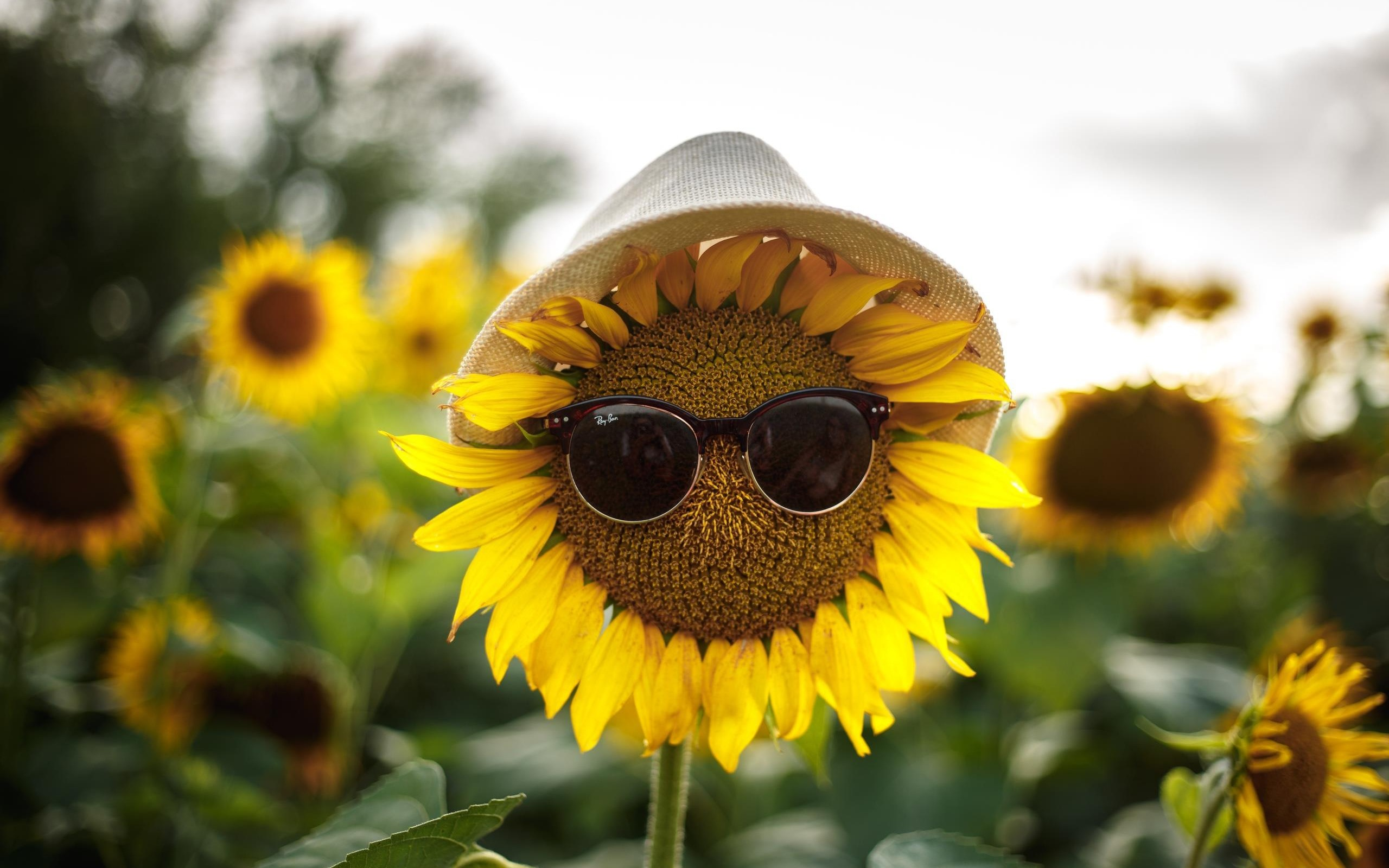 Fondos De Pantalla Girasoles, Gafas De Sol, Sombrero