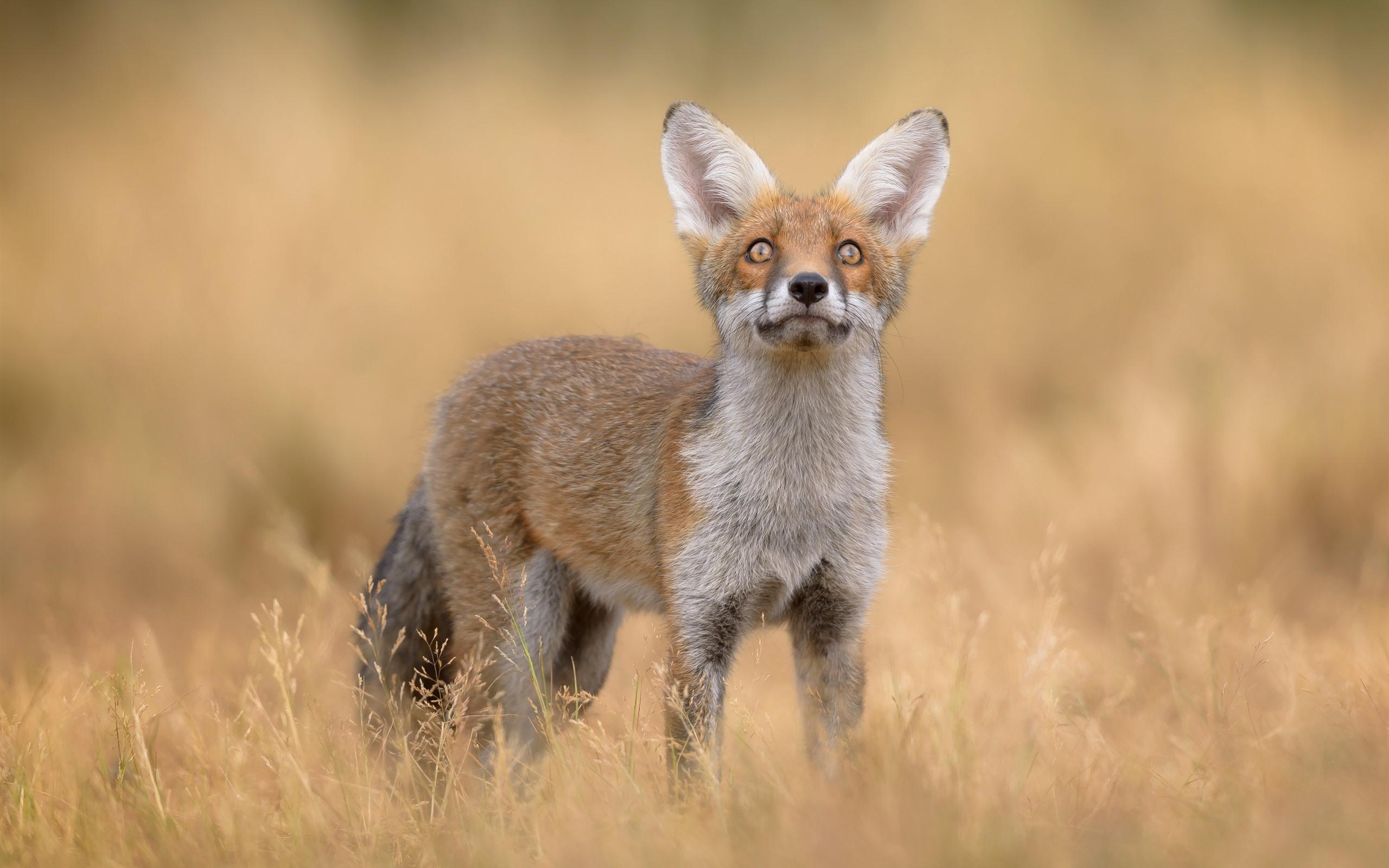 Wallpaper Cute fox, look up, grass, wildlife 2880x1800 HD ...
