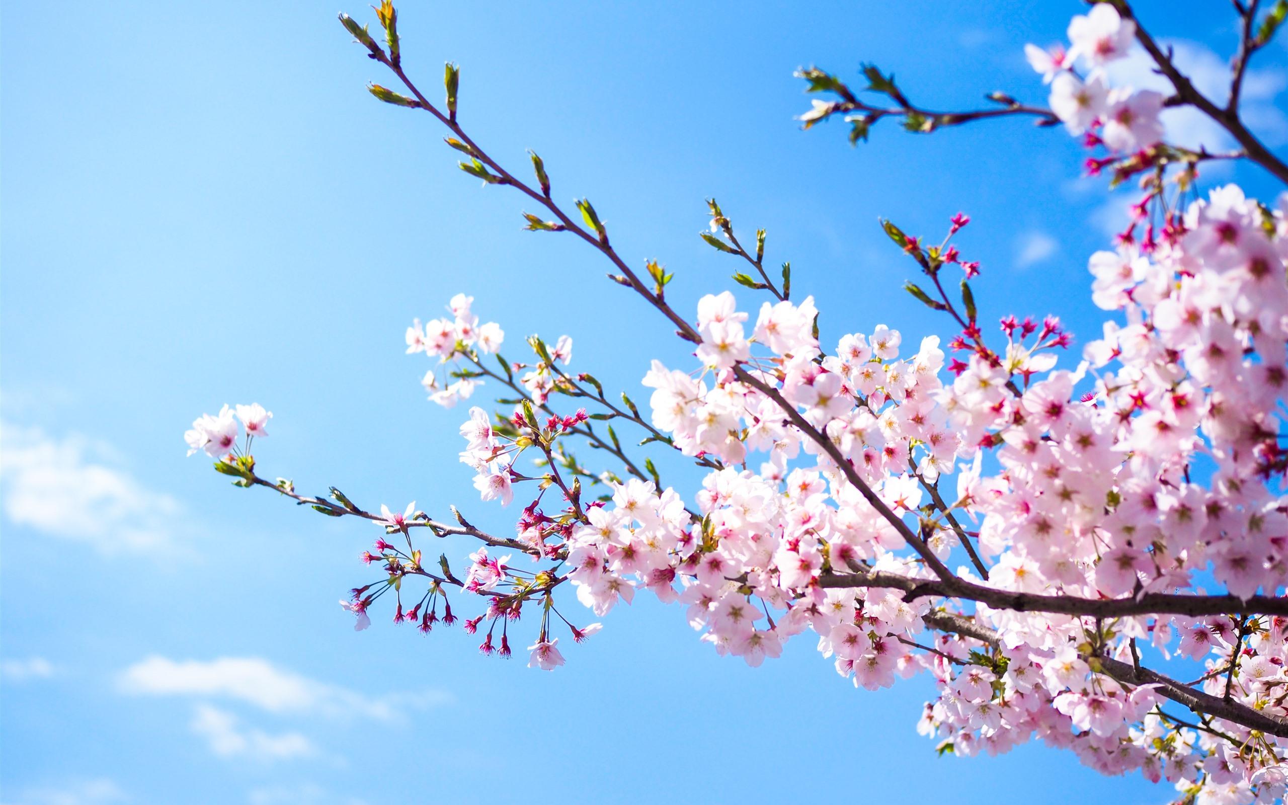 壁紙 ピンクの桜の花 青空 春 3840x2160 Uhd 4k 無料のデスクトップの背景 画像