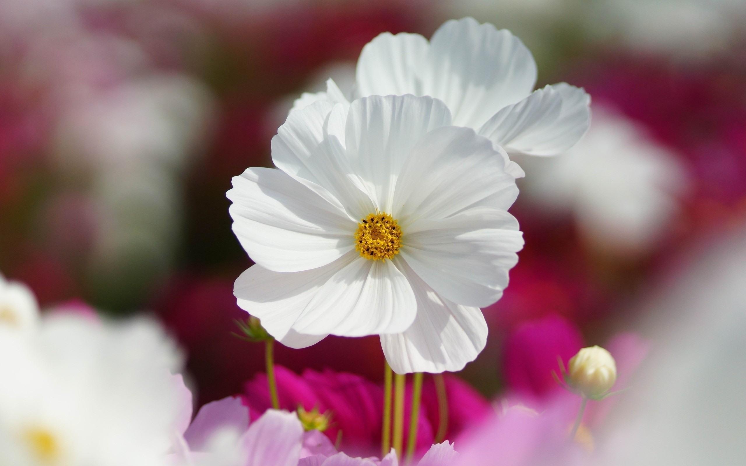 картинки цветы белого цвета дзюдо пензе открыты