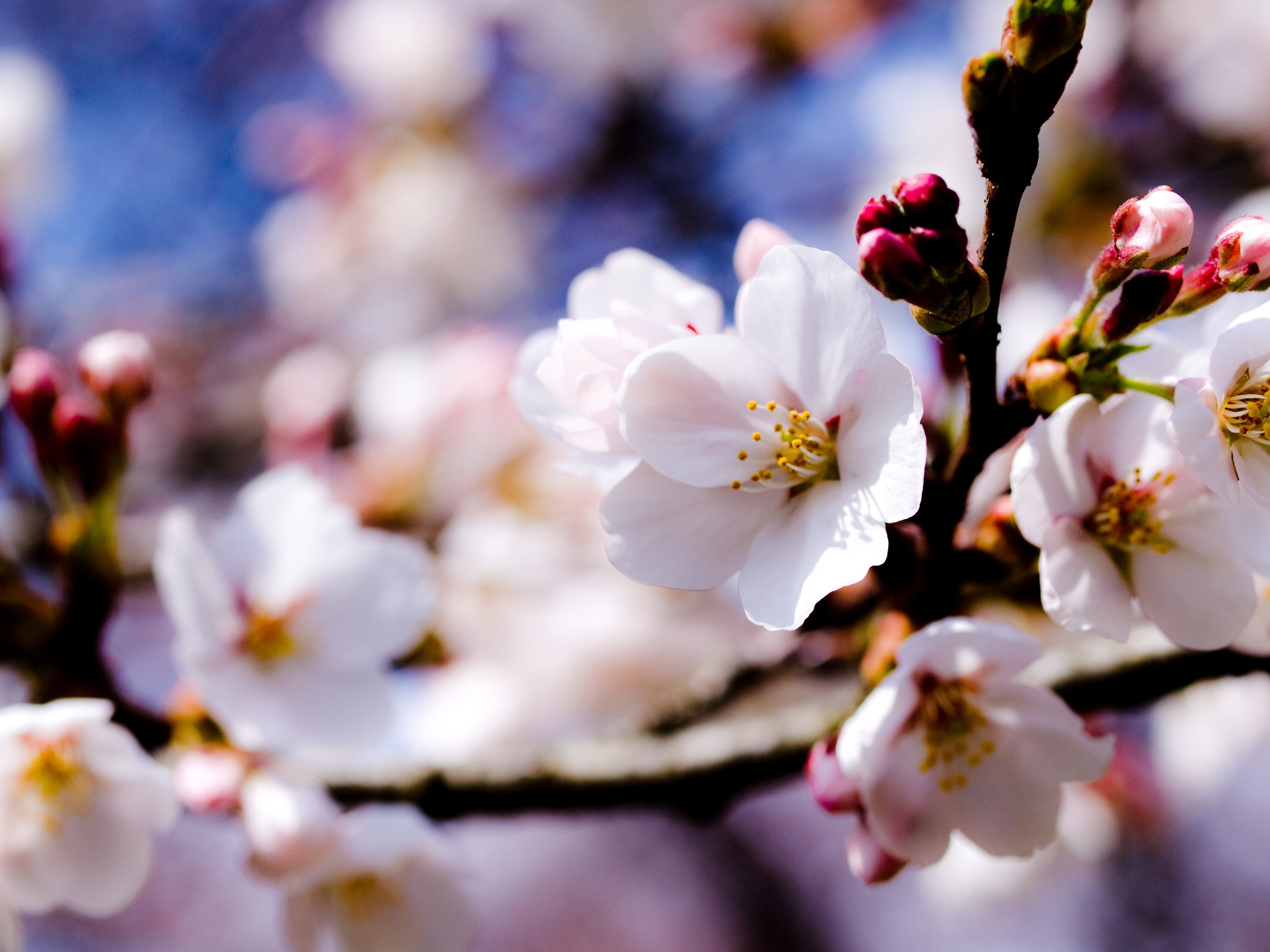 Wallpaper Apple Tree White Flowers Spring 2560x1920 Hd Picture Image