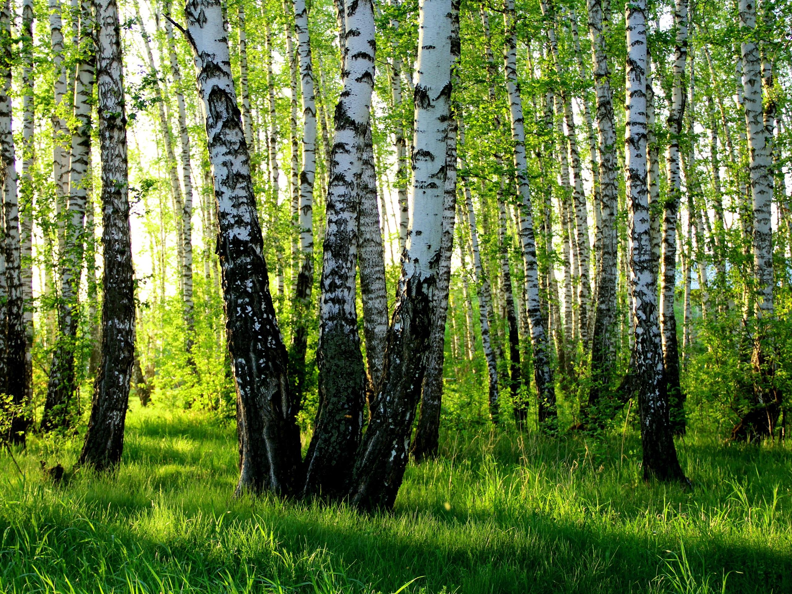 Fondos de pantalla abedul blanco verano bosque 2560x1920 hd imagen - Abedul blanco ...