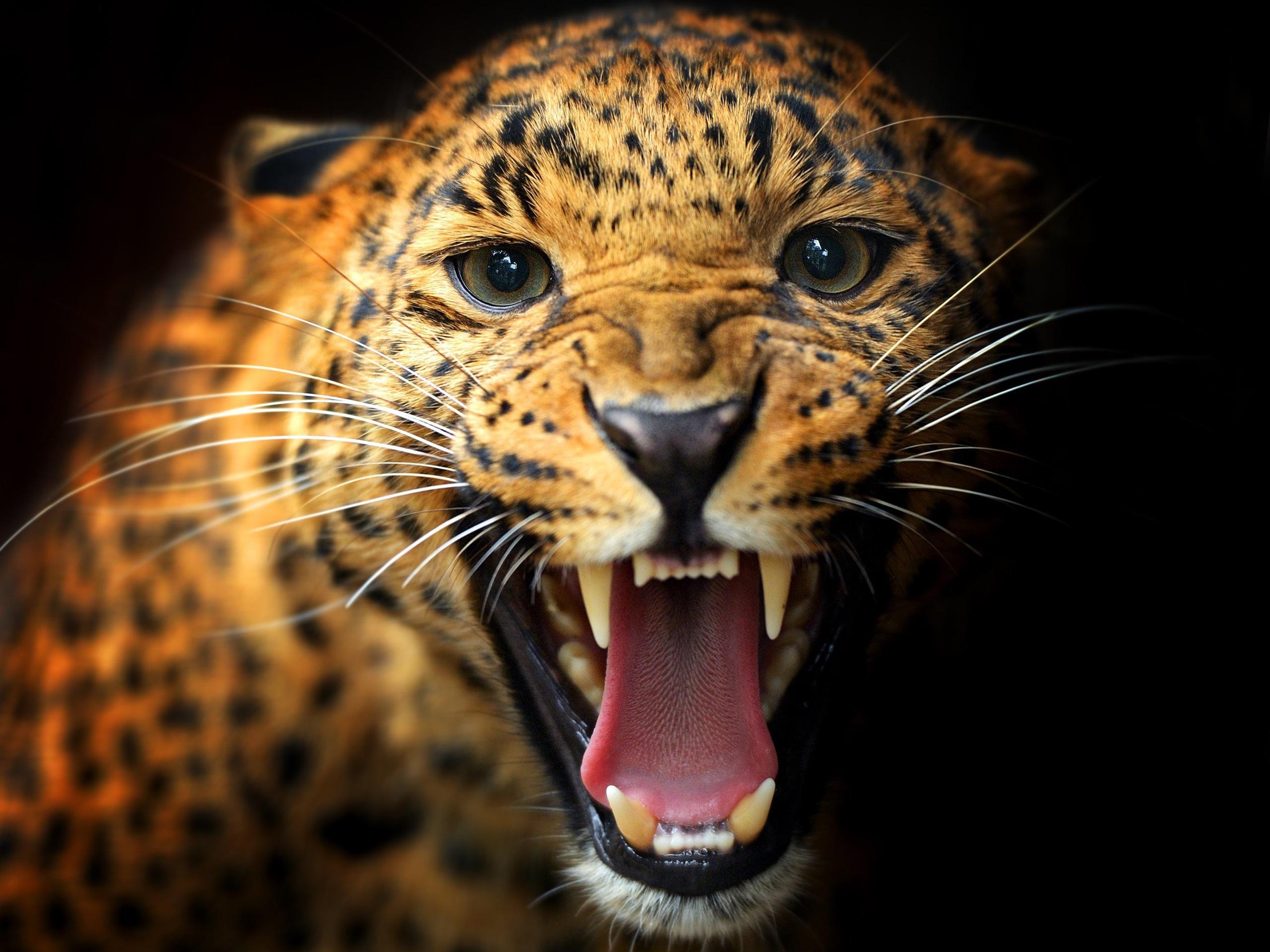 tier close up leoparden z hne augen schnurrbart schwarzer hintergrund 2560x1920 hd. Black Bedroom Furniture Sets. Home Design Ideas