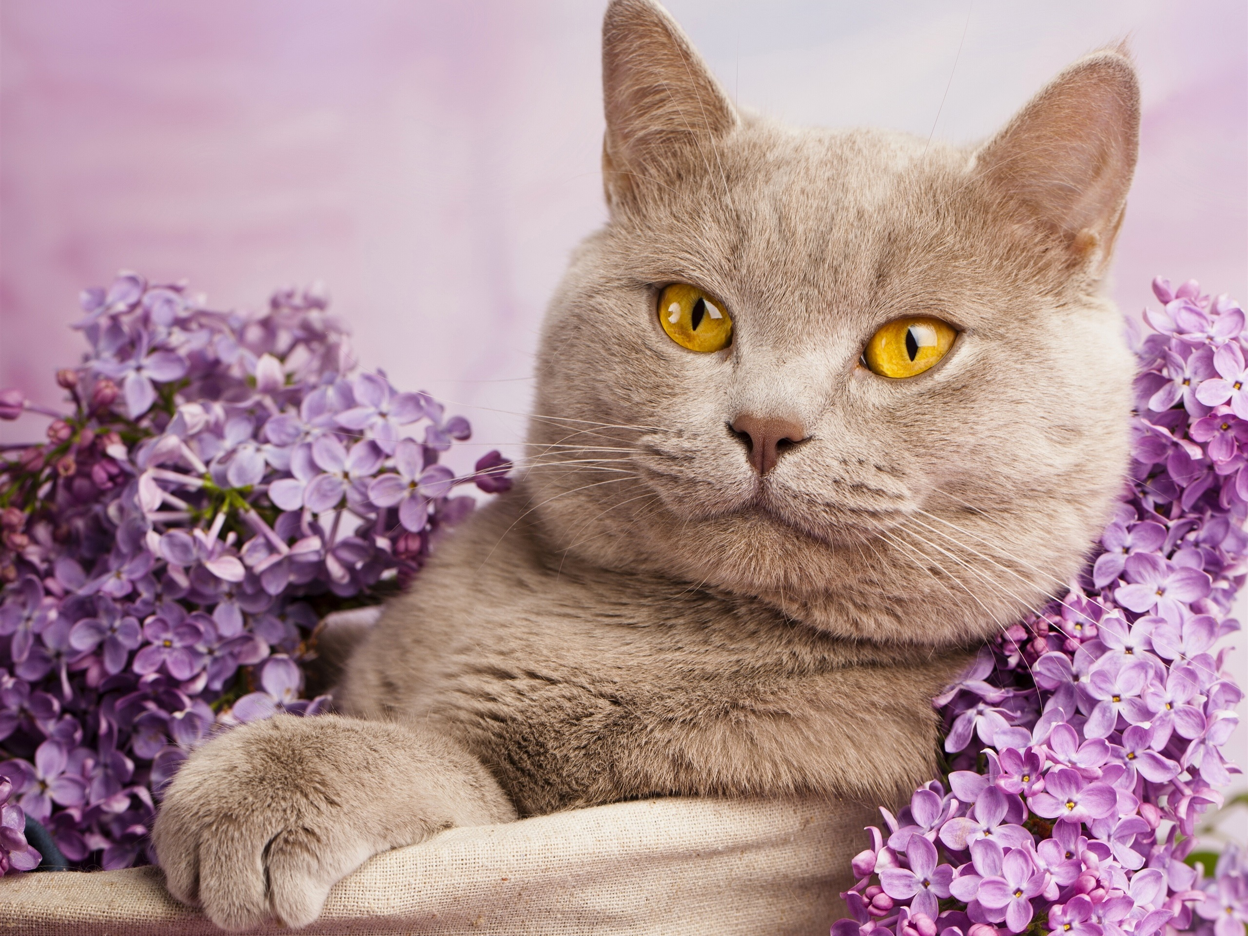 Wallpaper British shorthair, yellow eyes, portrait, flowers