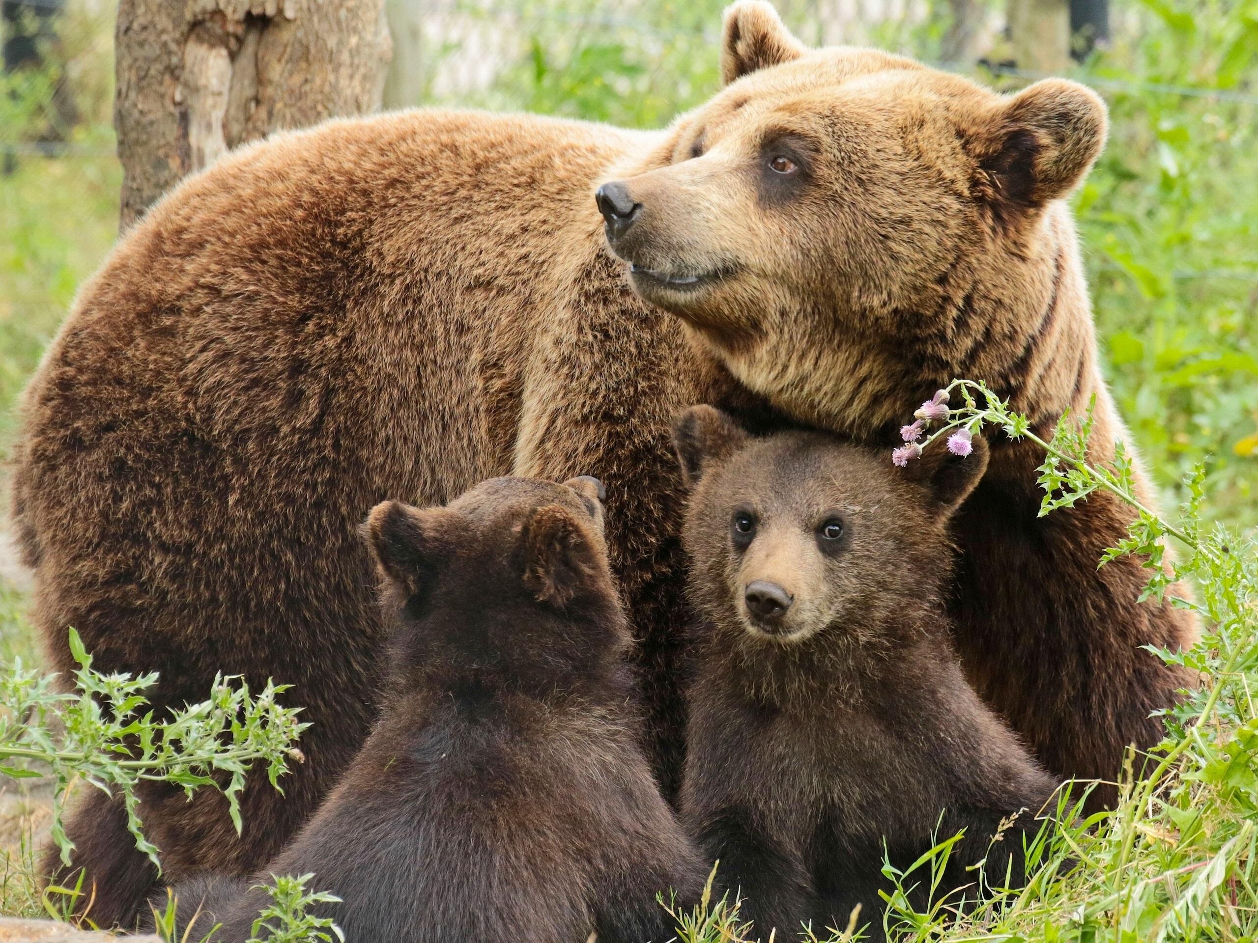 Фото медведица и два медвежонка