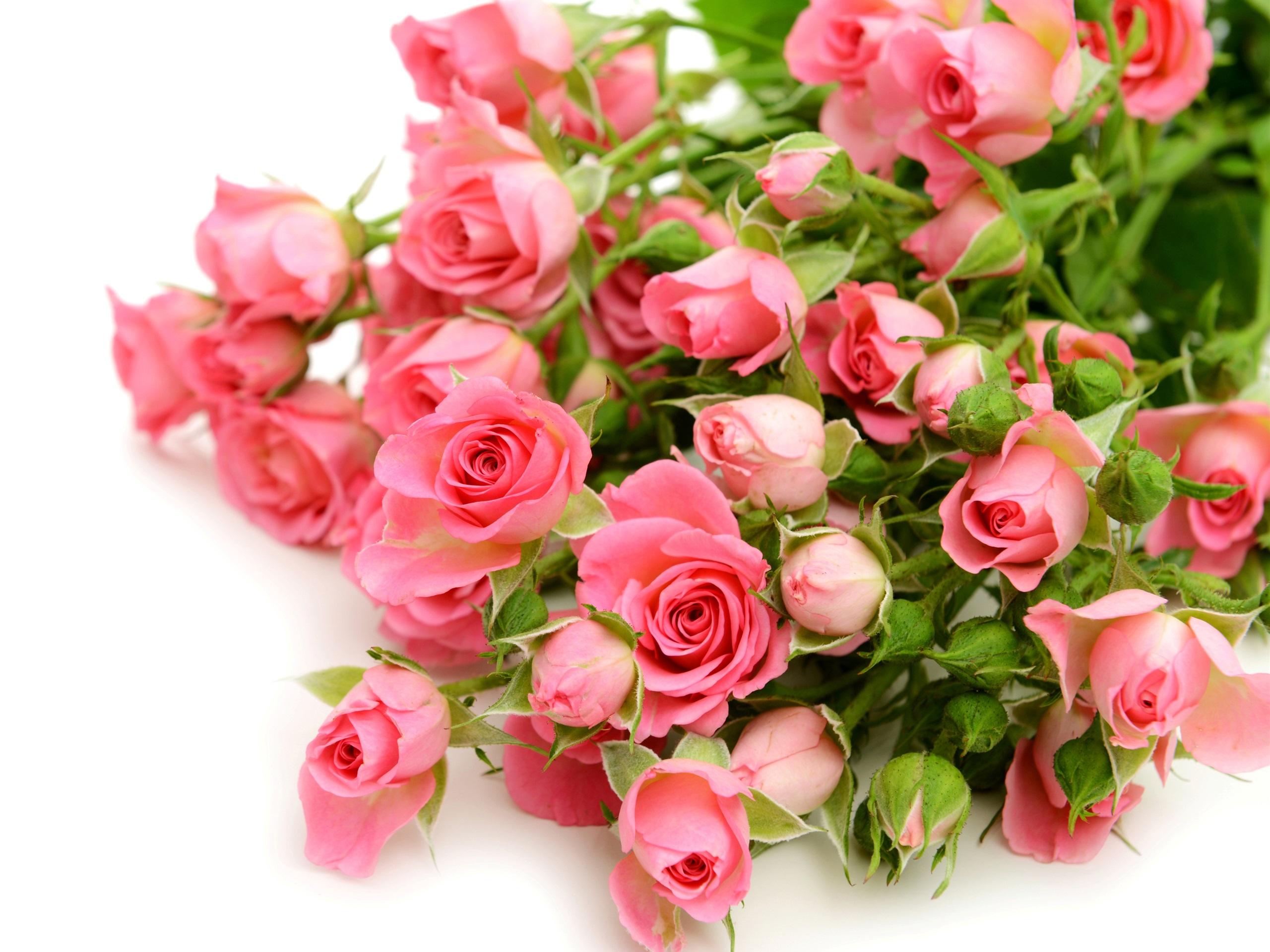 Картинки розовые розы на белом фоне, новым