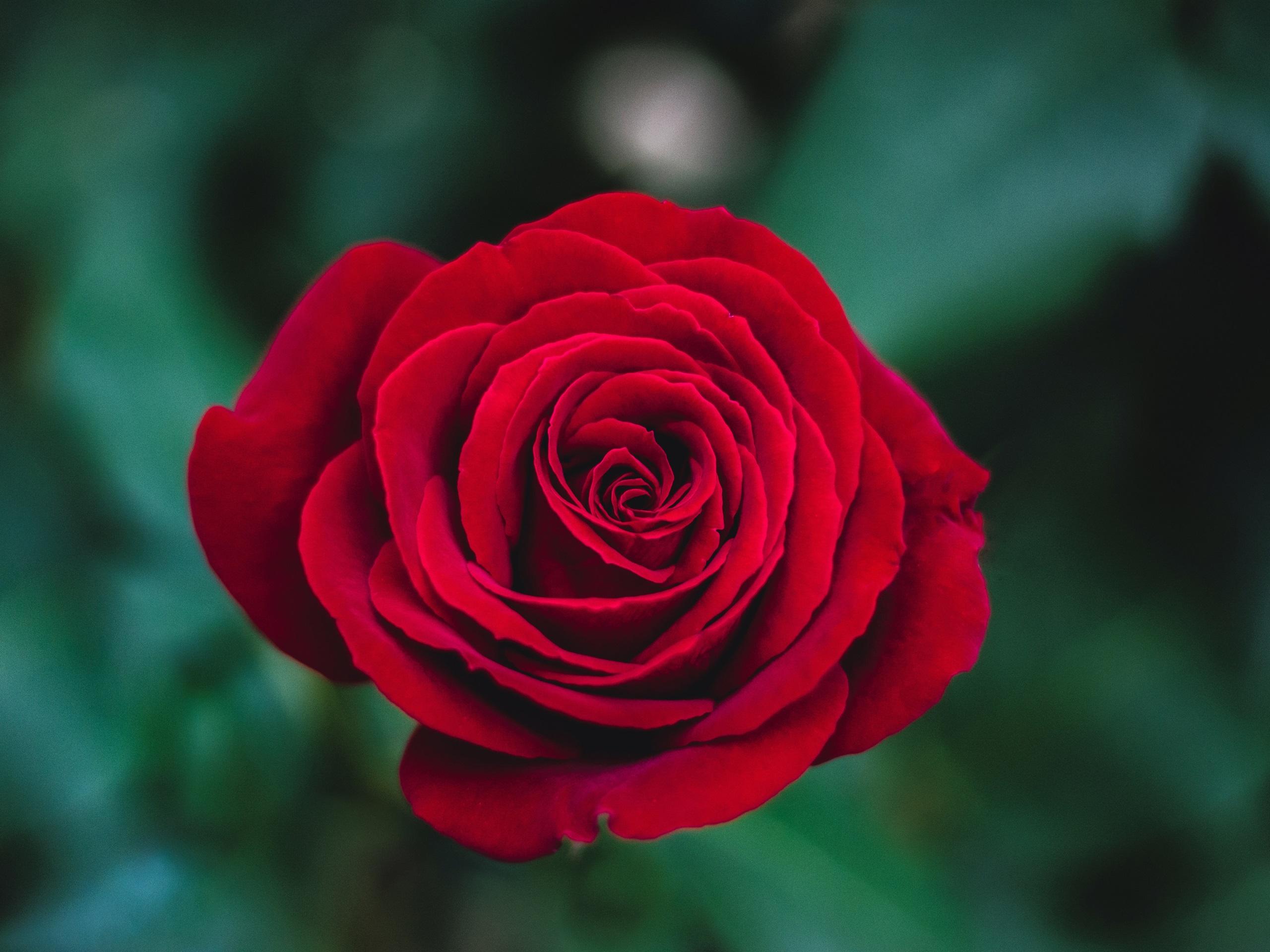 Картинки с розой красной, моя семья