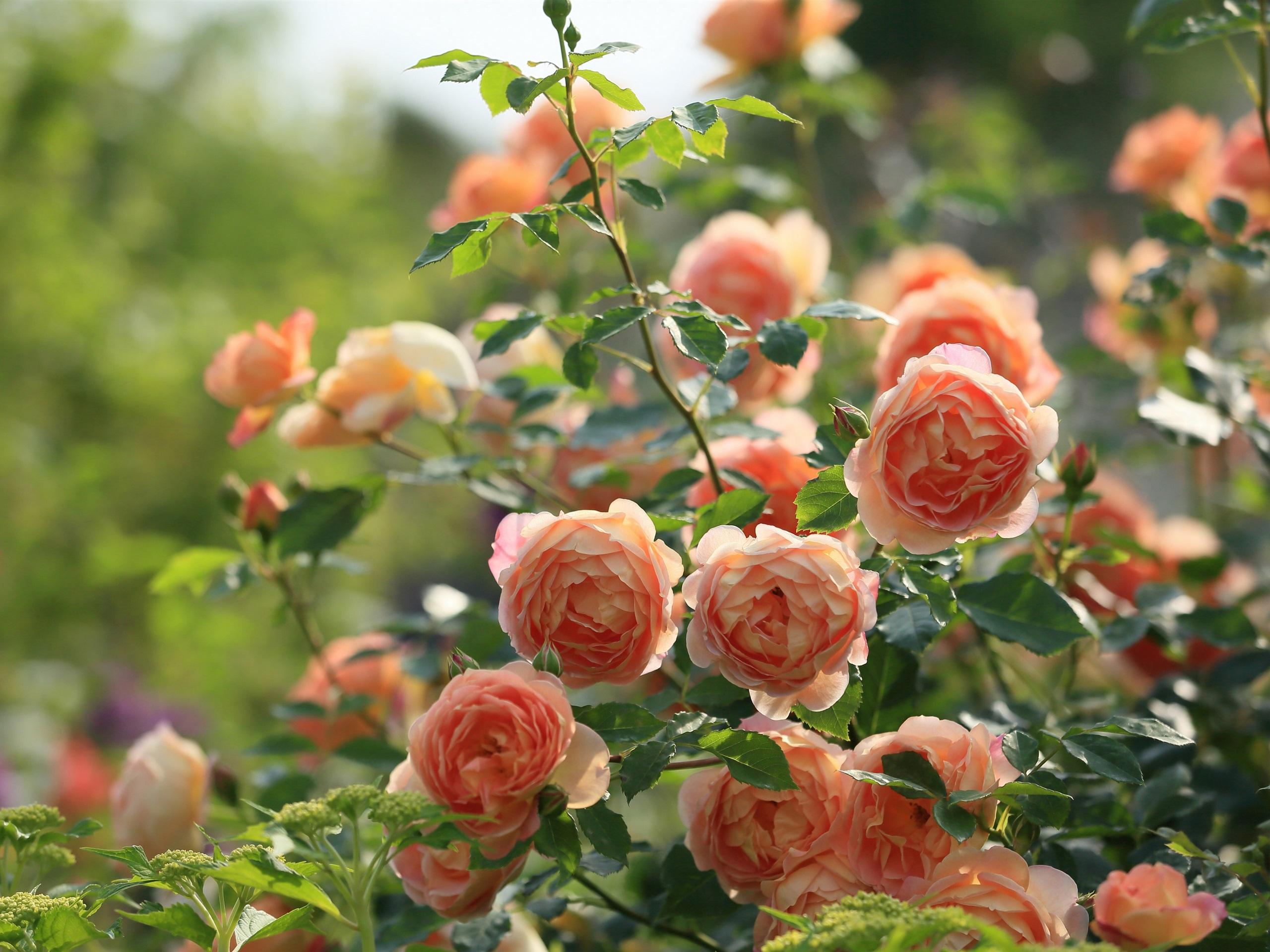 фото чайная роза в саду выбрали десять самых