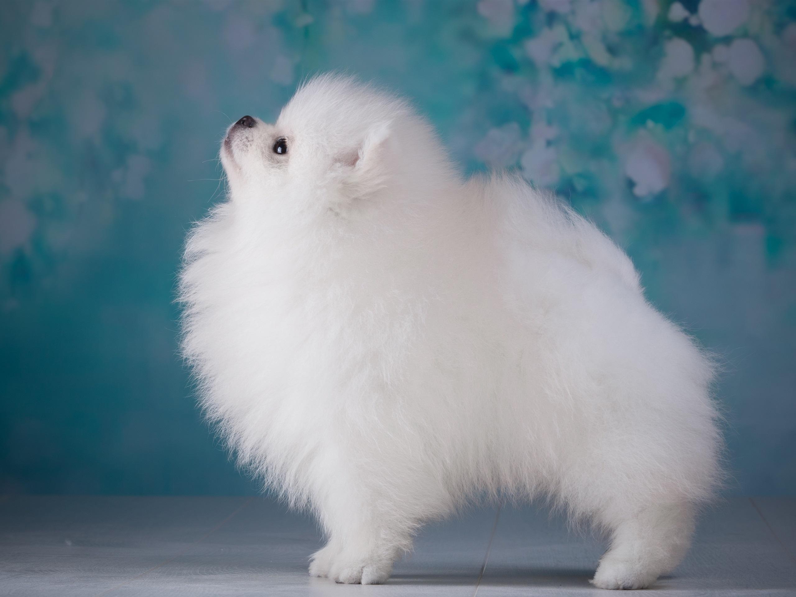 Картинки маленькой белой пушистой собачки вот первая