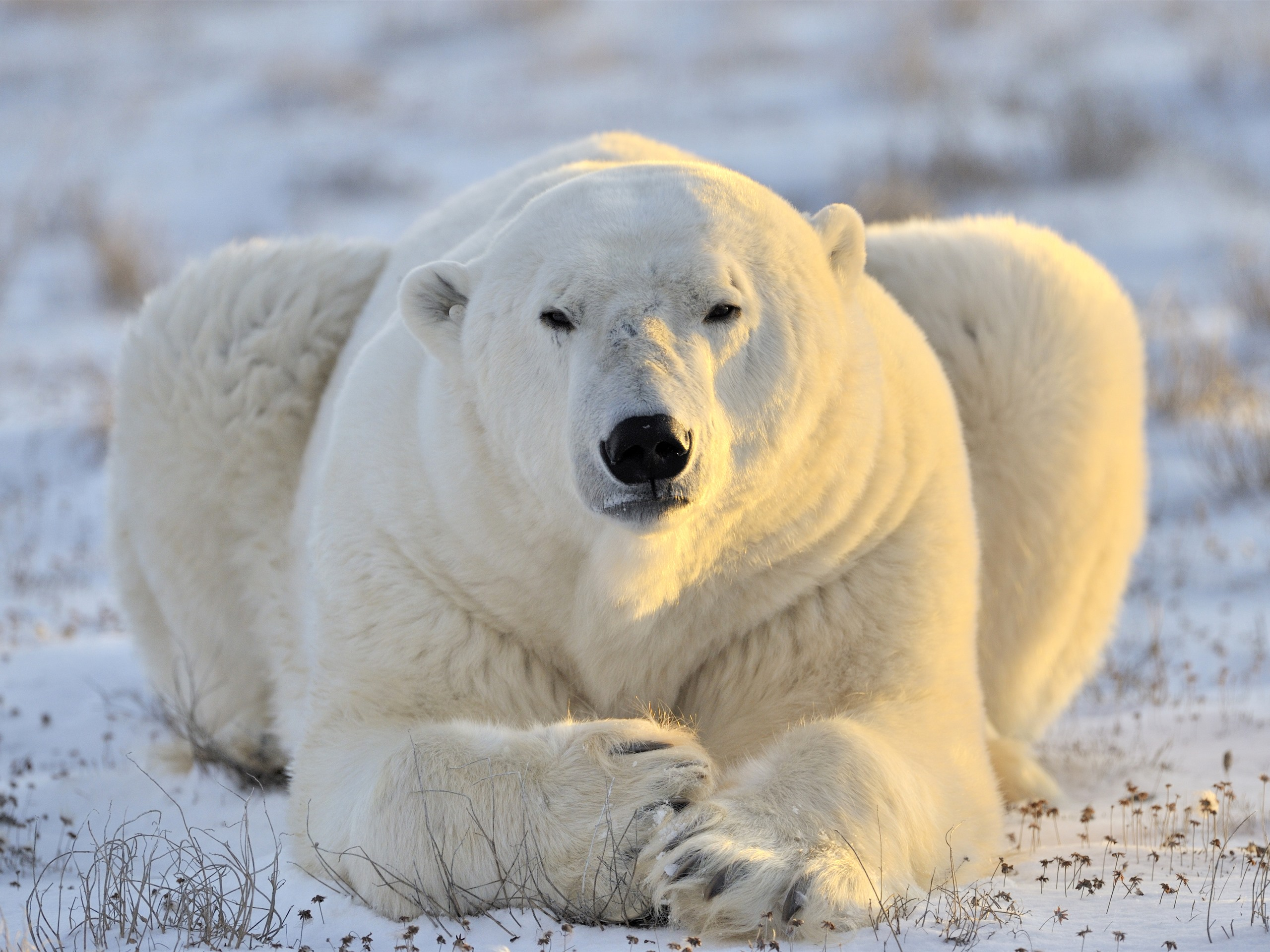 Wallpaper Polar Bear Front View Rest Snow 3840x2160 Uhd 4k Picture Image Free site with personal ads for bears and fans of hairy bears. view rest snow 3840x2160 uhd 4k