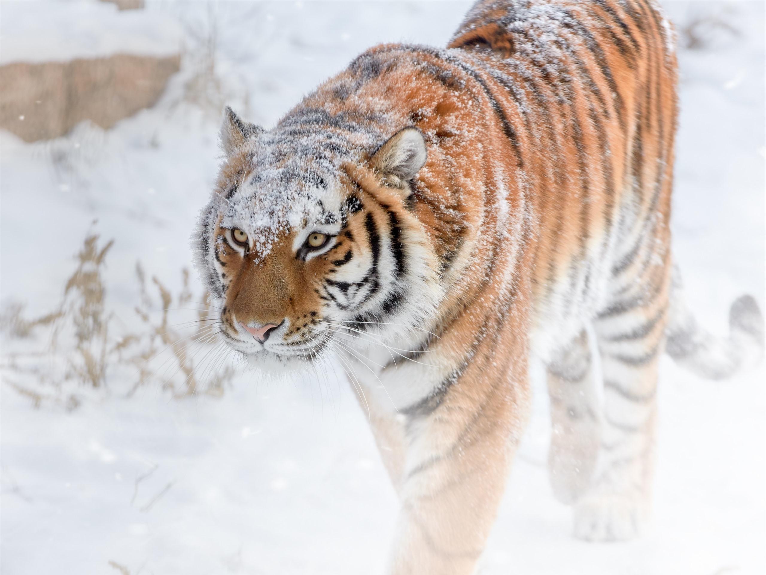 картинка тигр и снег зеленая палитра