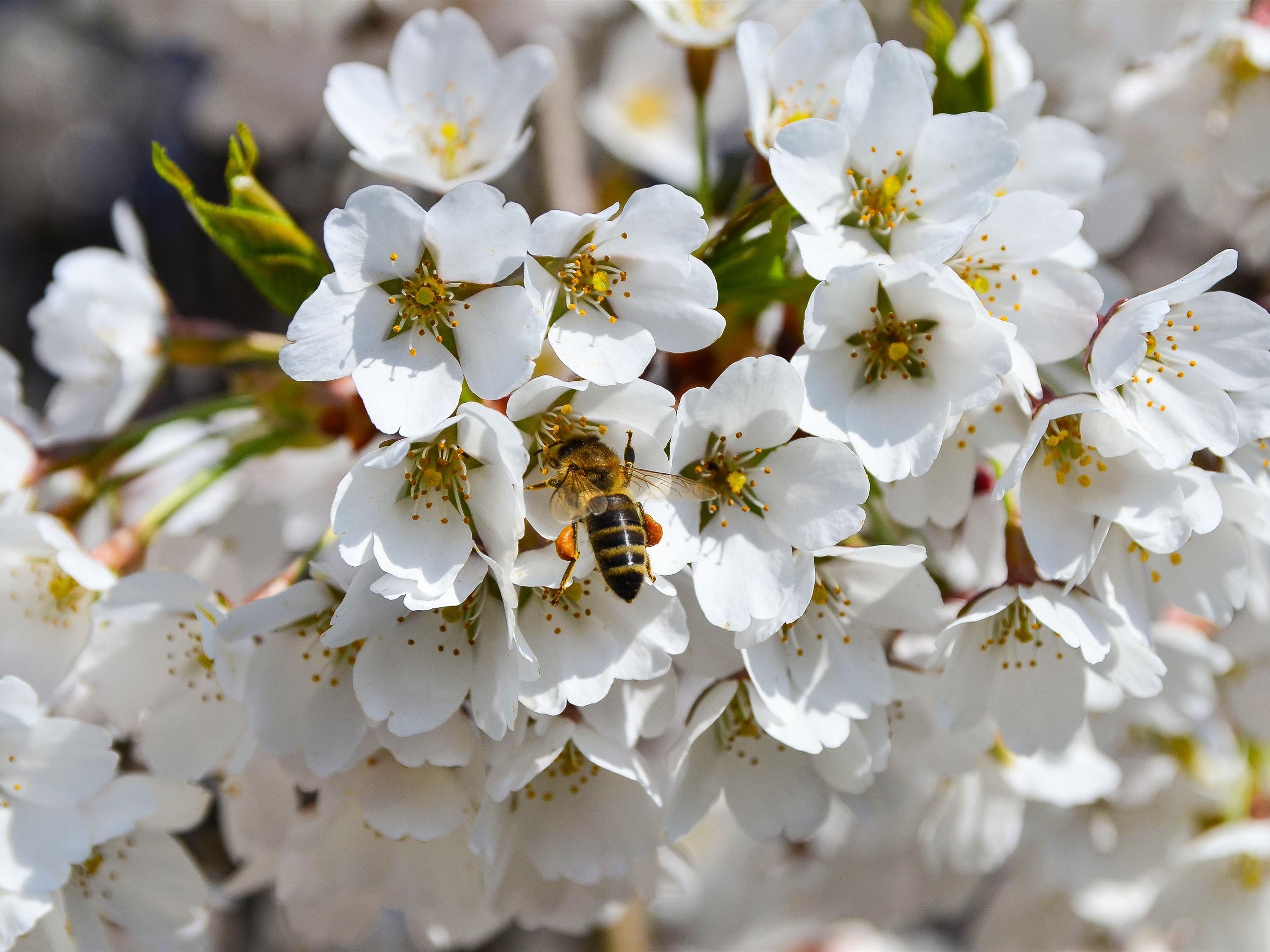 Wallpaper White Flowers, Bee, Spring 3840x2160 UHD 4K