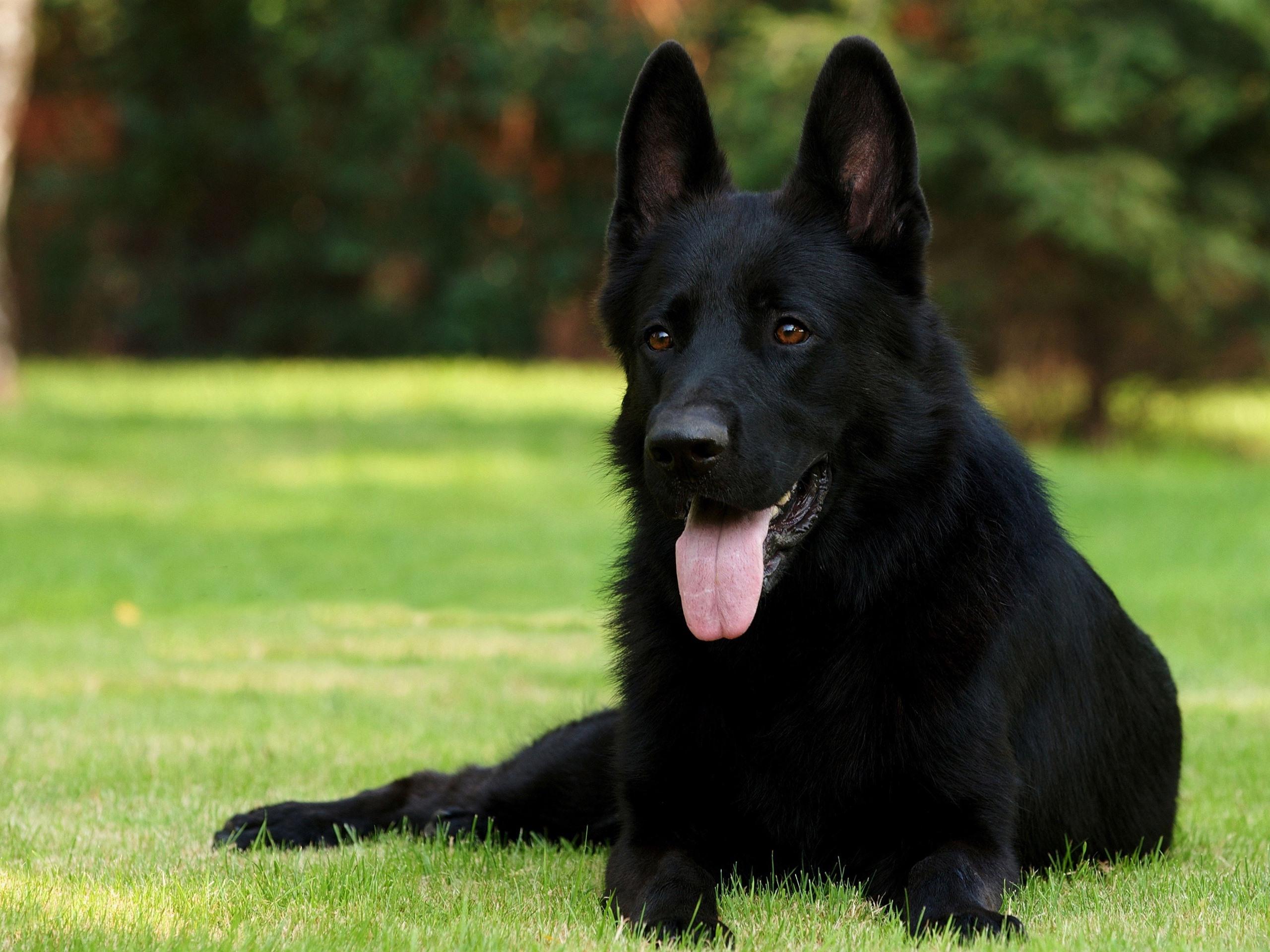 full black german shepherd - HD1400×1050