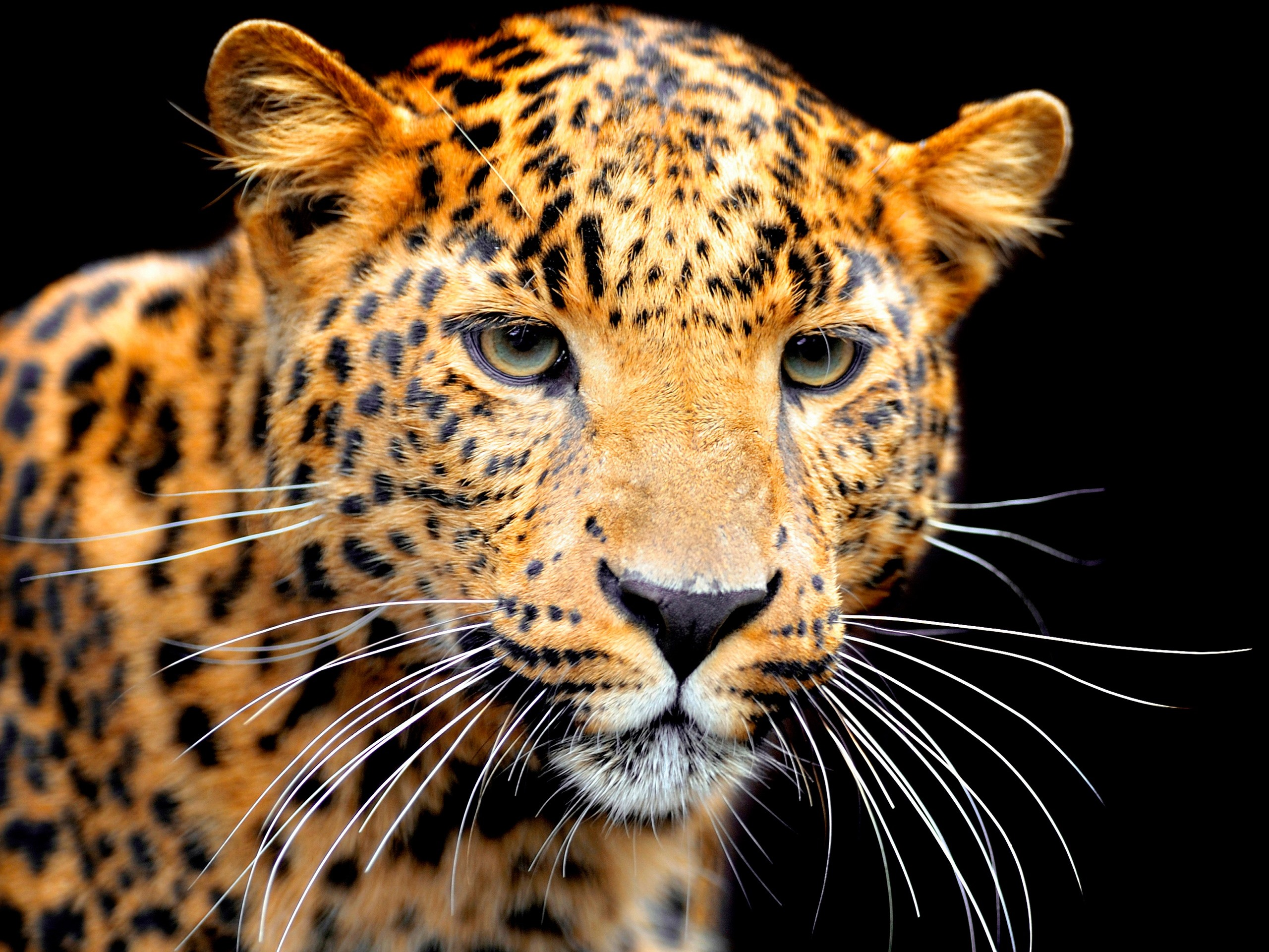 Wallpaper Jaguar Face Black Background 2560x1920 Hd Picture Image