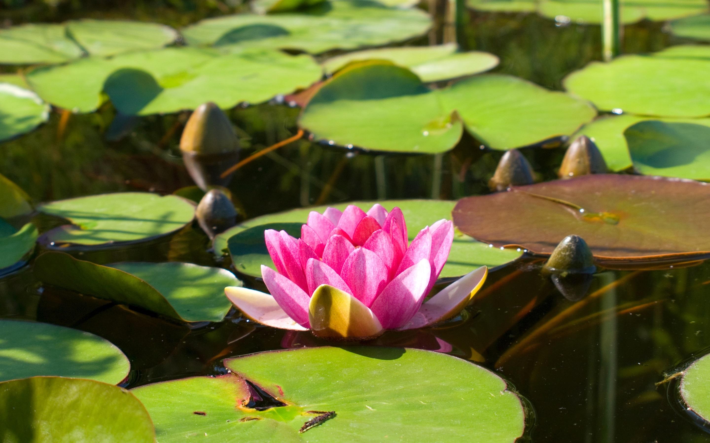 лилия, озеро, листья бесплатно