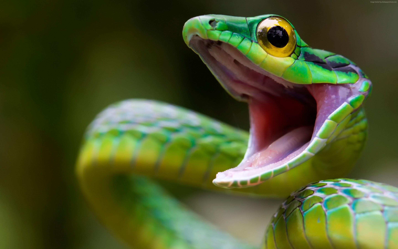 鹦鹉蛇,危险的动物,愤怒 壁纸