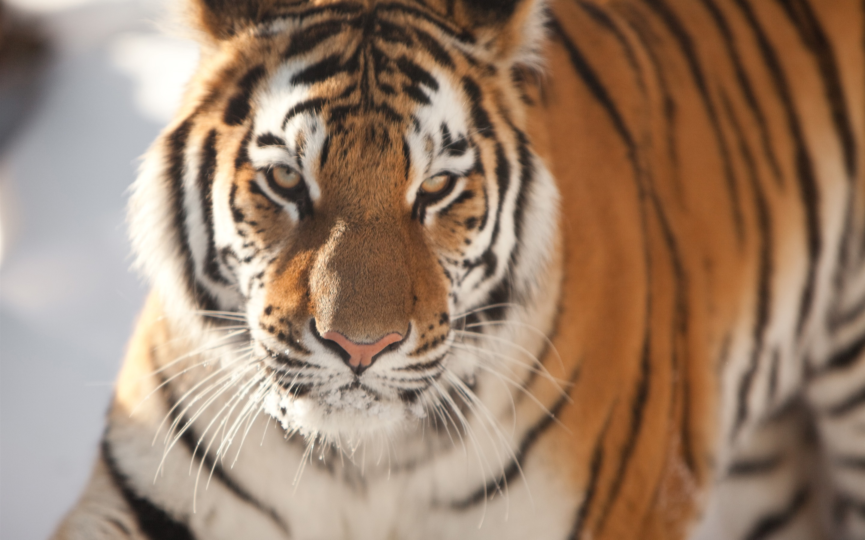 8k Animal Wallpaper Download: Wallpaper Tiger Face Close-up 3840x2160 UHD 4K Picture, Image