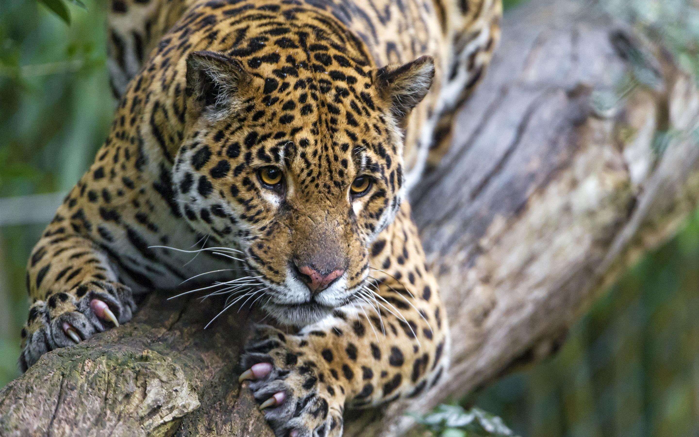 думаю, фото высокого качества очень красивые ягуары такая непозволительная