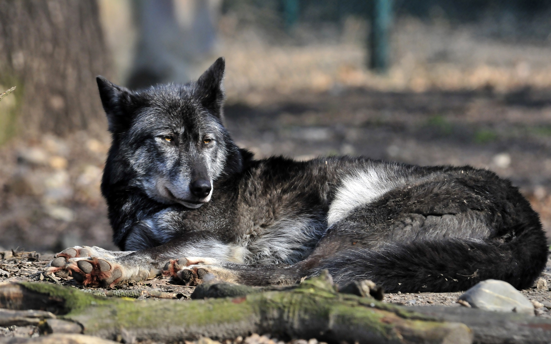 Смотреть фотографии черного волка