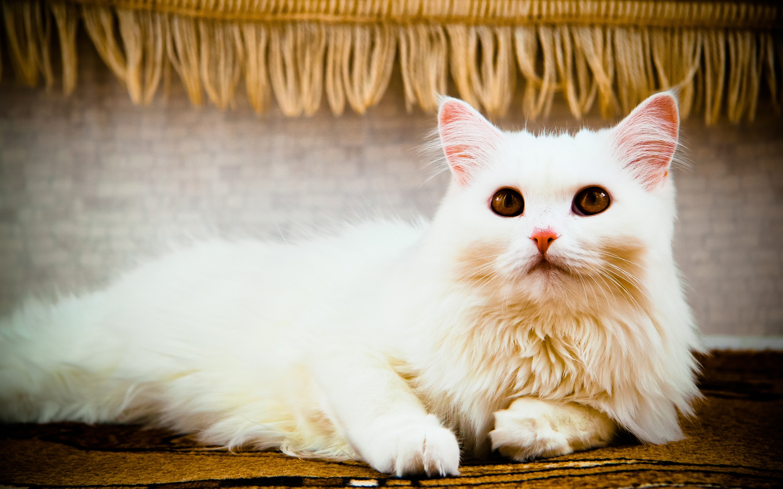 Брата, картинка с белой кошкой
