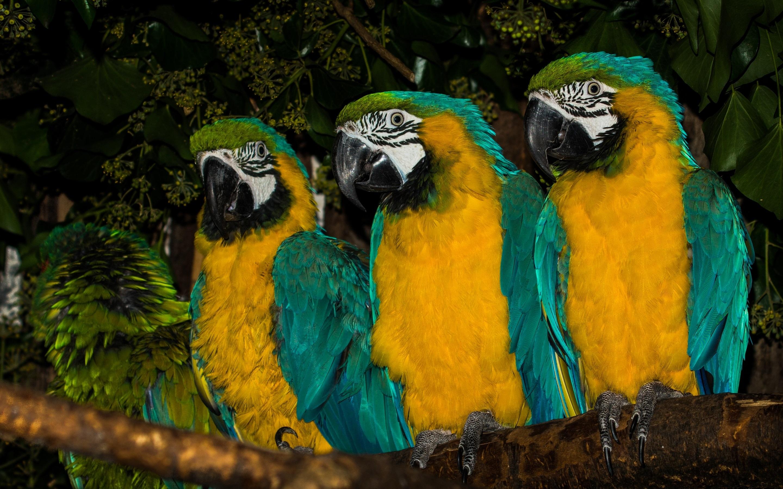 Обои птицa, Сине-жёлтый ара, Попугай. Животные foto 15