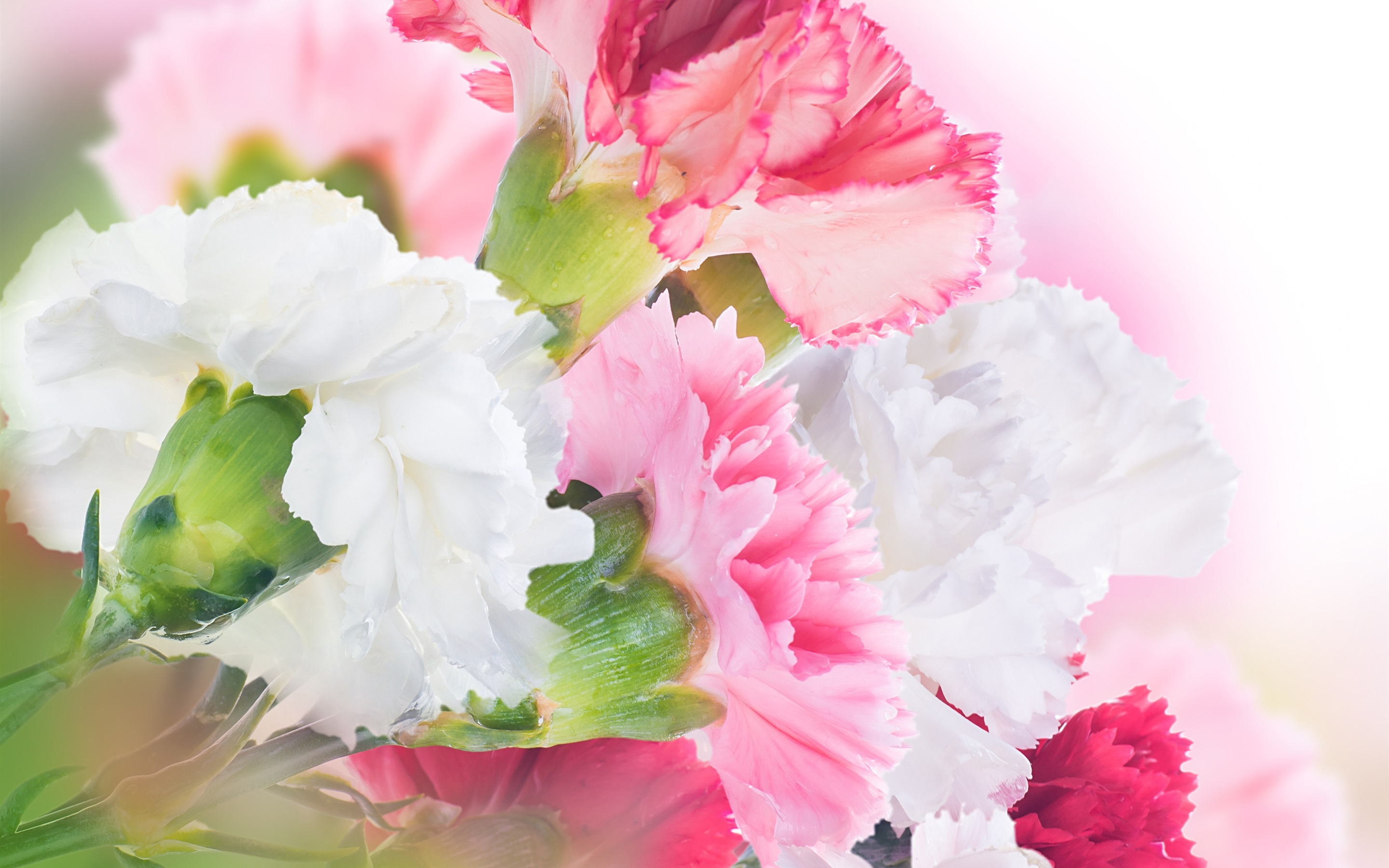 Wallpaper Carnations White And Pink Flowers 2880x1800 Hd Picture Image