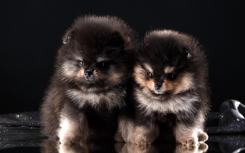 Zwei Welpen Flauschige Hunde 3840x2160 Uhd 4k