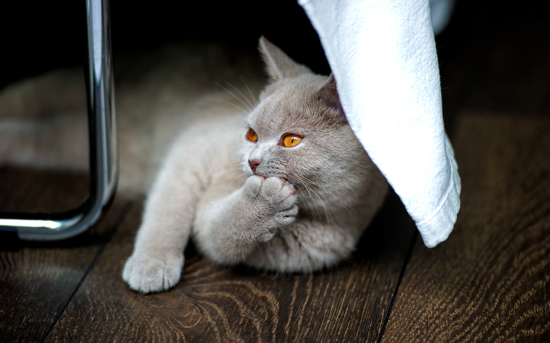 взглянем смешные коты британцы картинки карта объектов рязанской