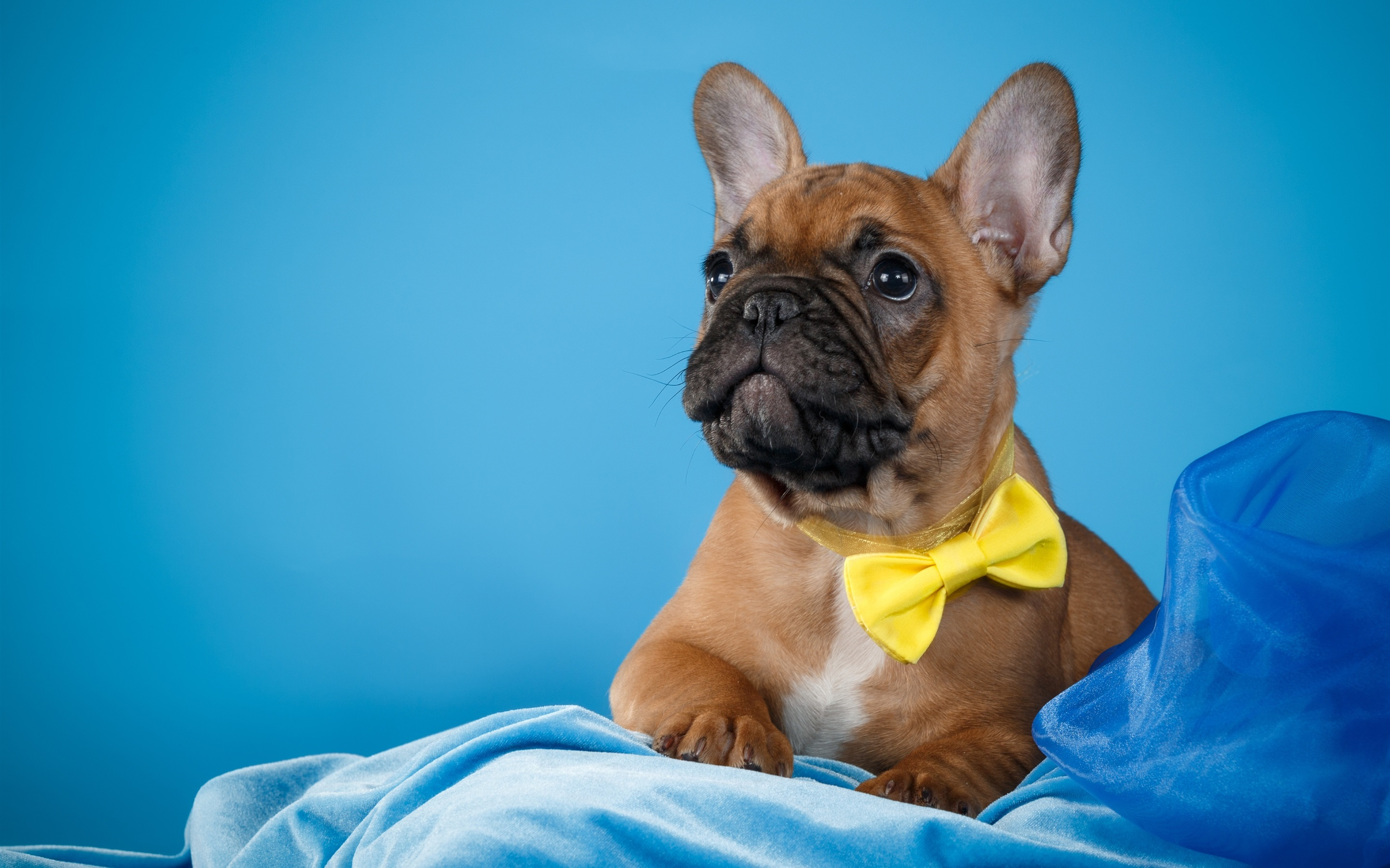 Wallpaper French Bulldog Blue Background 2880x1800 Hd Picture Image