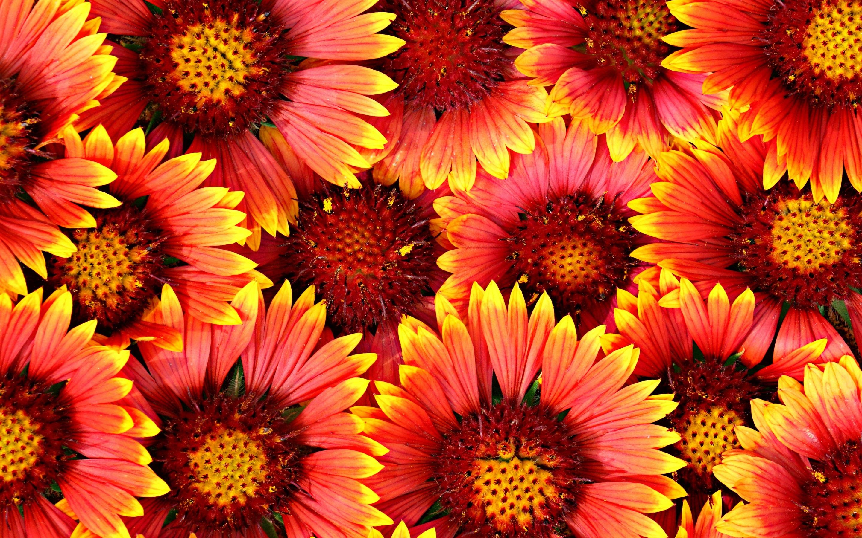Fondos De Pantalla Muchas Flores Pétalos De Color Amarillo Rojo 2880x1800 Hd Imagen