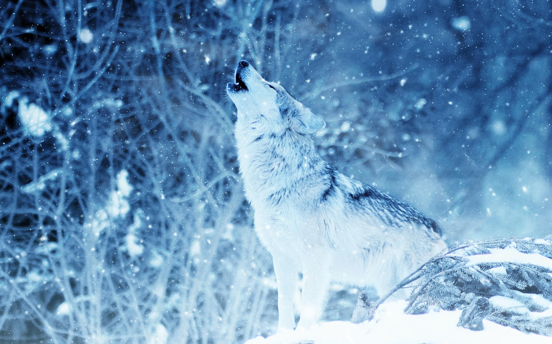 Fonds D Ecran Loup De Loups Predateur Hiver Neige