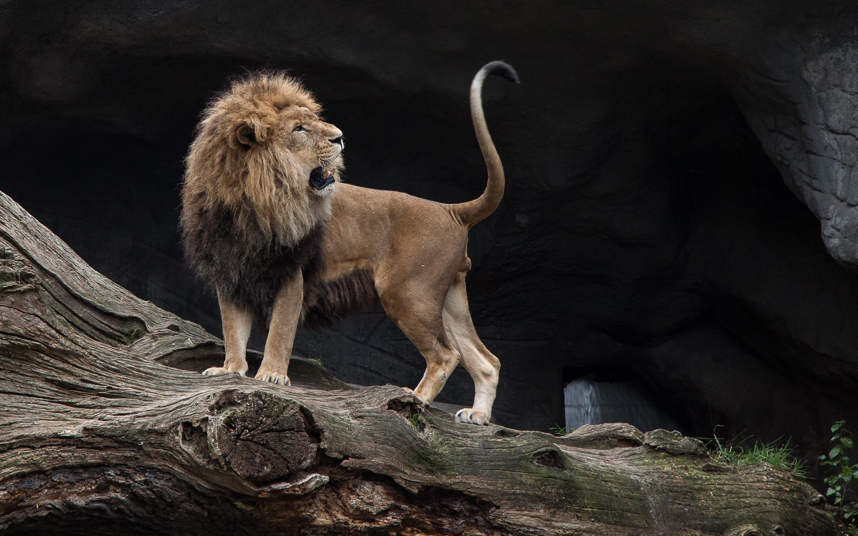 Wallpaper Lion look back, big cat 2880x1800 HD Picture, Image