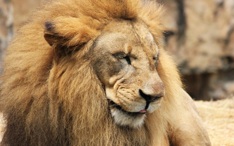 Lion Close-up, Predator, Mane 1080x1920 IPhone 8/7/6/6S