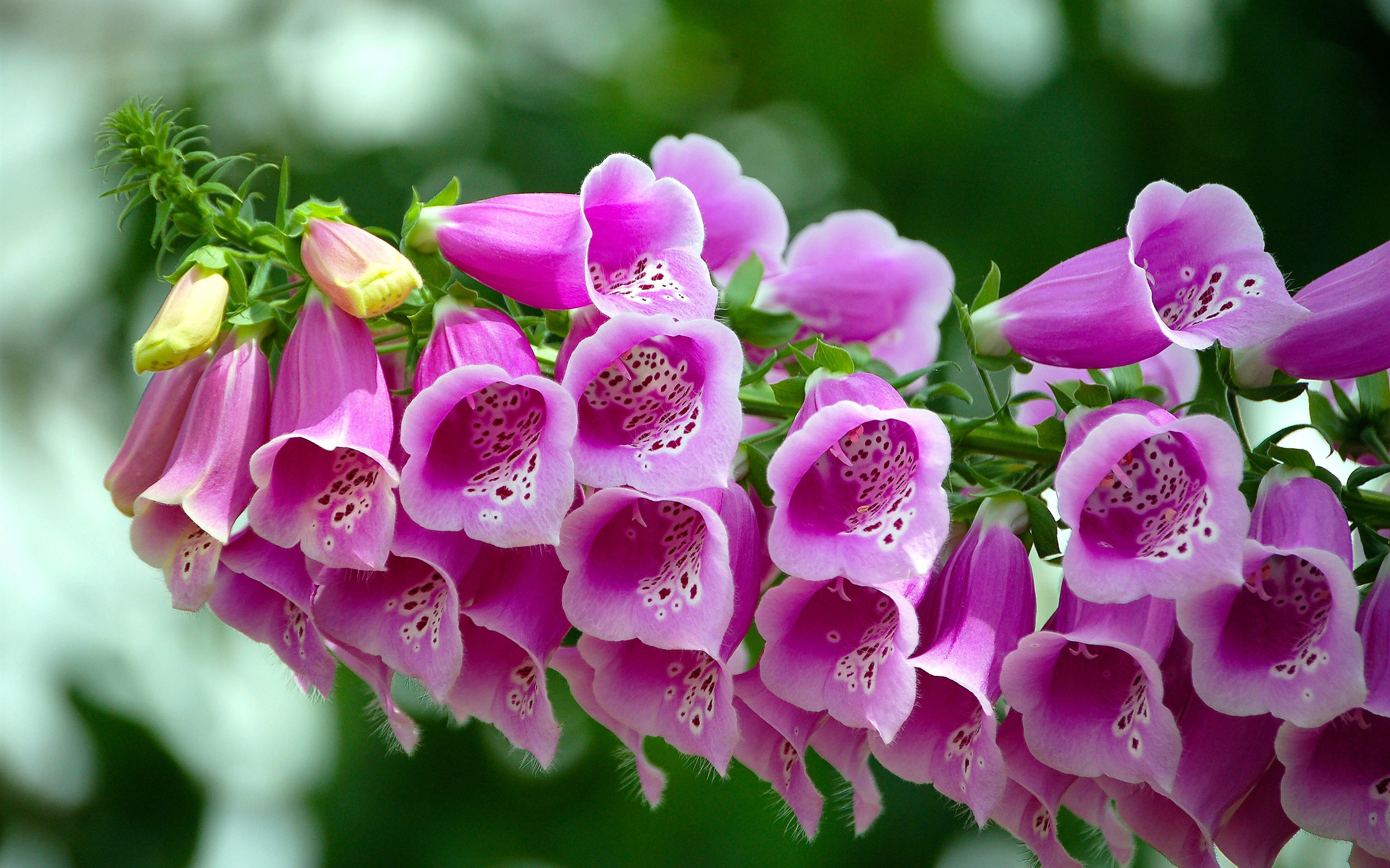 Wallpaper Beautiful Pink Bells Flowers 2880x1800 Hd Picture Image