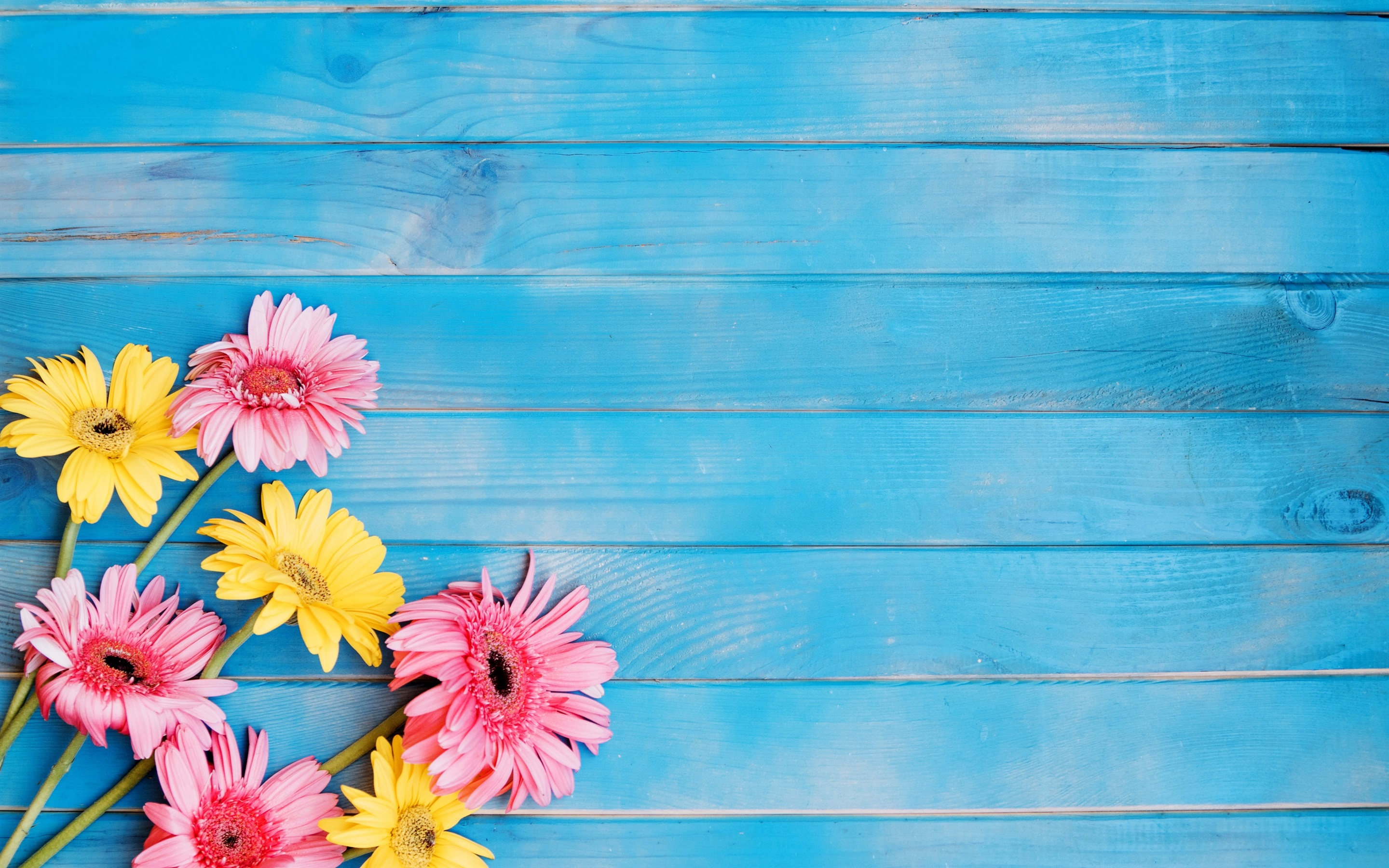 wallpaper yellow and pink gerbera flowers, blue wood board